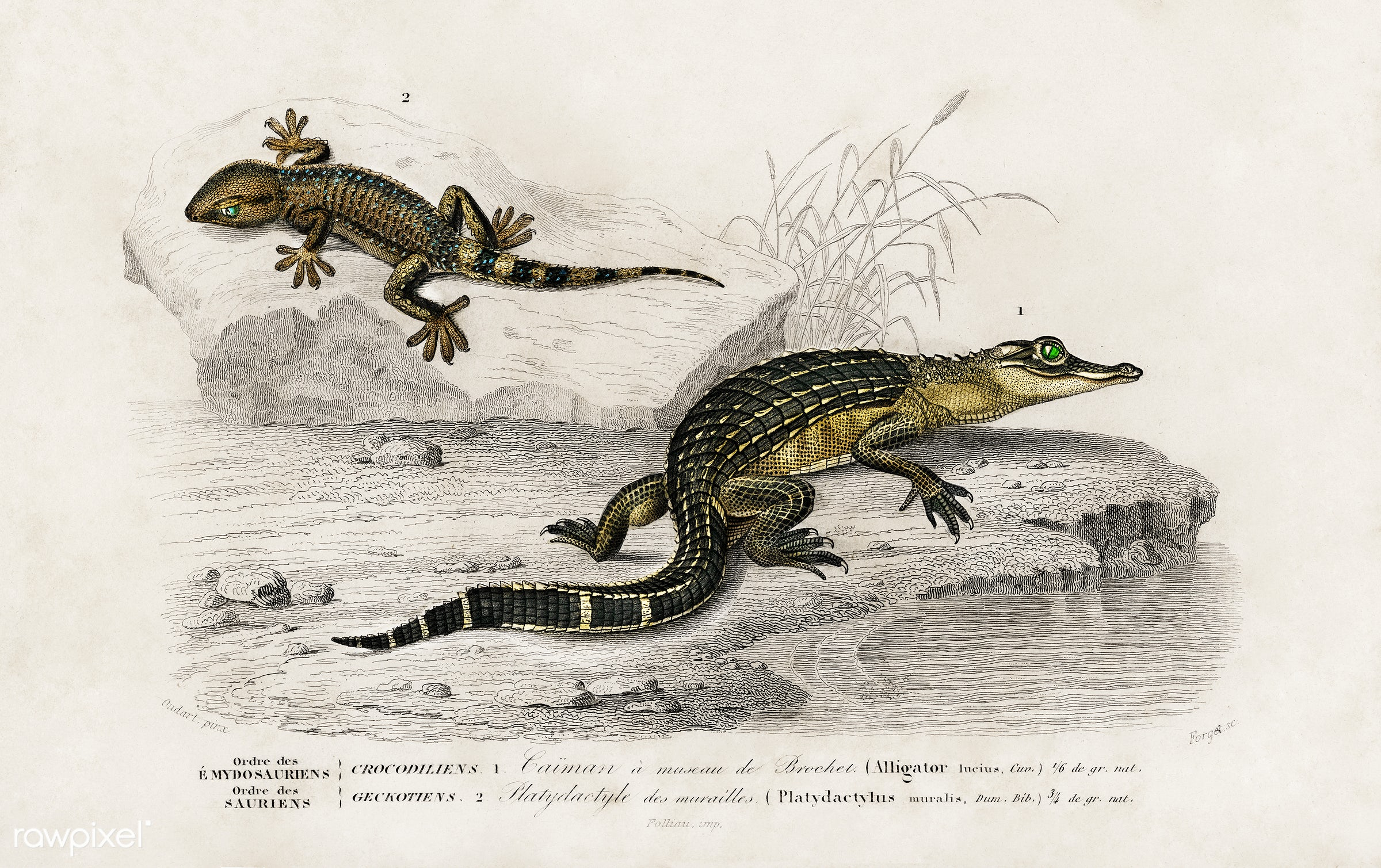 Alligator (Alligator incius) and Lilford'swall lizard (Podarcis lilfordi) illustrated by Charles Dessalines D'...