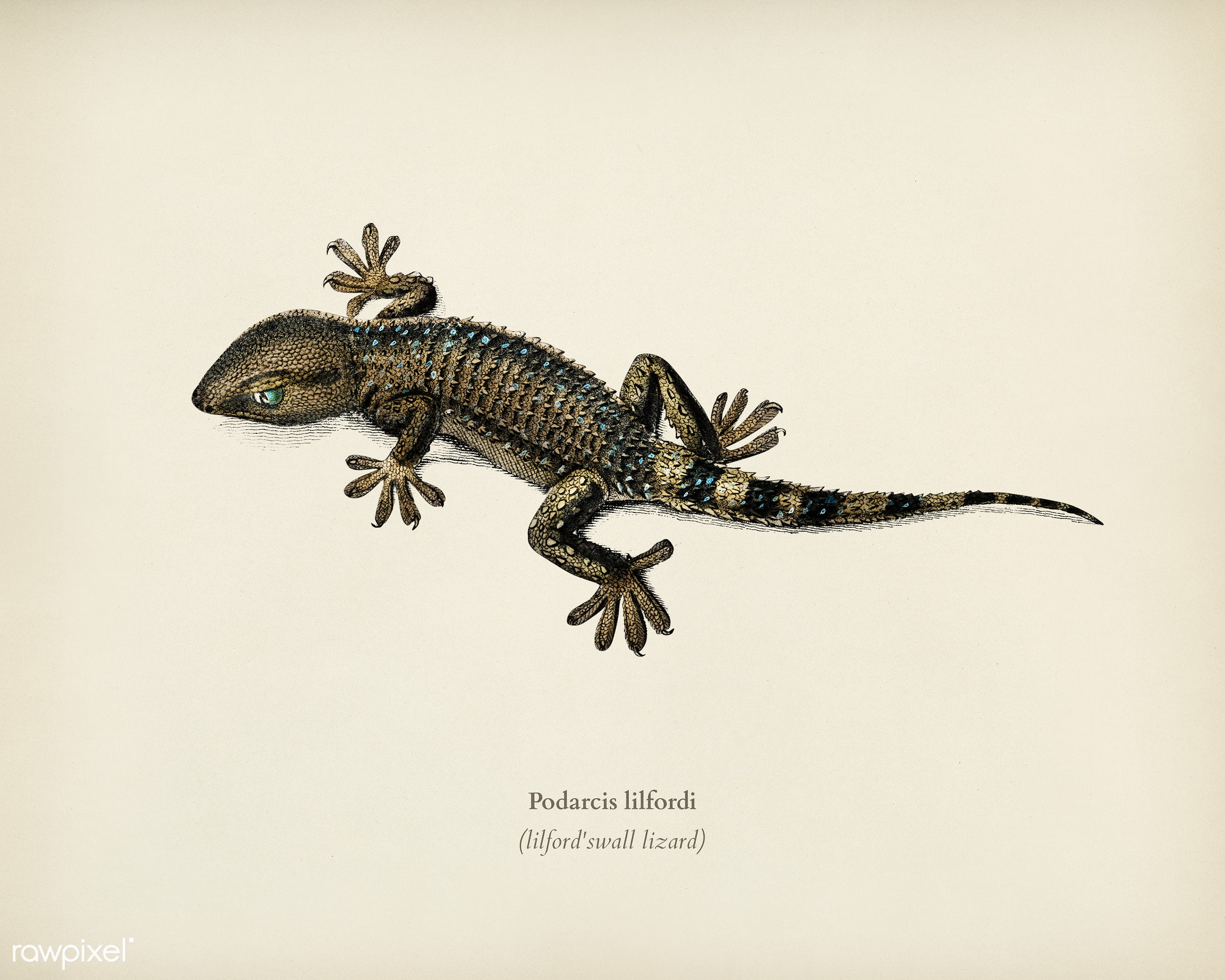 Lilford'swall lizard (Podarcis lilfordi) illustrated by Charles Dessalines D' Orbigny (1806-1876). Digitally...