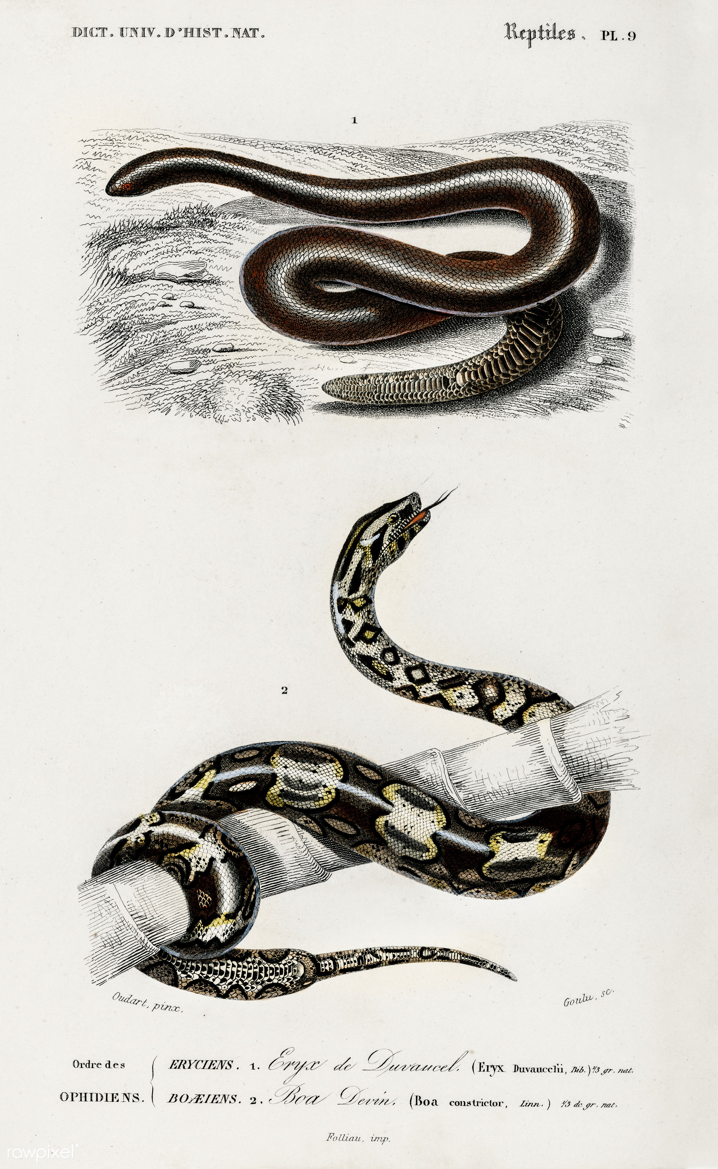 Eryx and the Red-tailed boa illustrated by Charles Dessalines D' Orbigny (1806-1876). Digitally enhanced from our own...