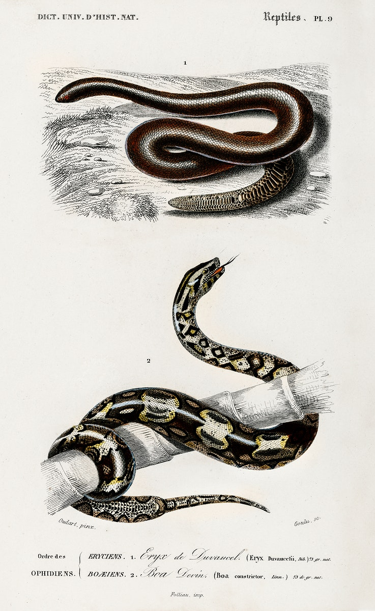 Eryx and the Red-tailed boa illustrated by Charles Dessalines D' Orbigny (1806-1876). Digitally enhanced from our own 1892…