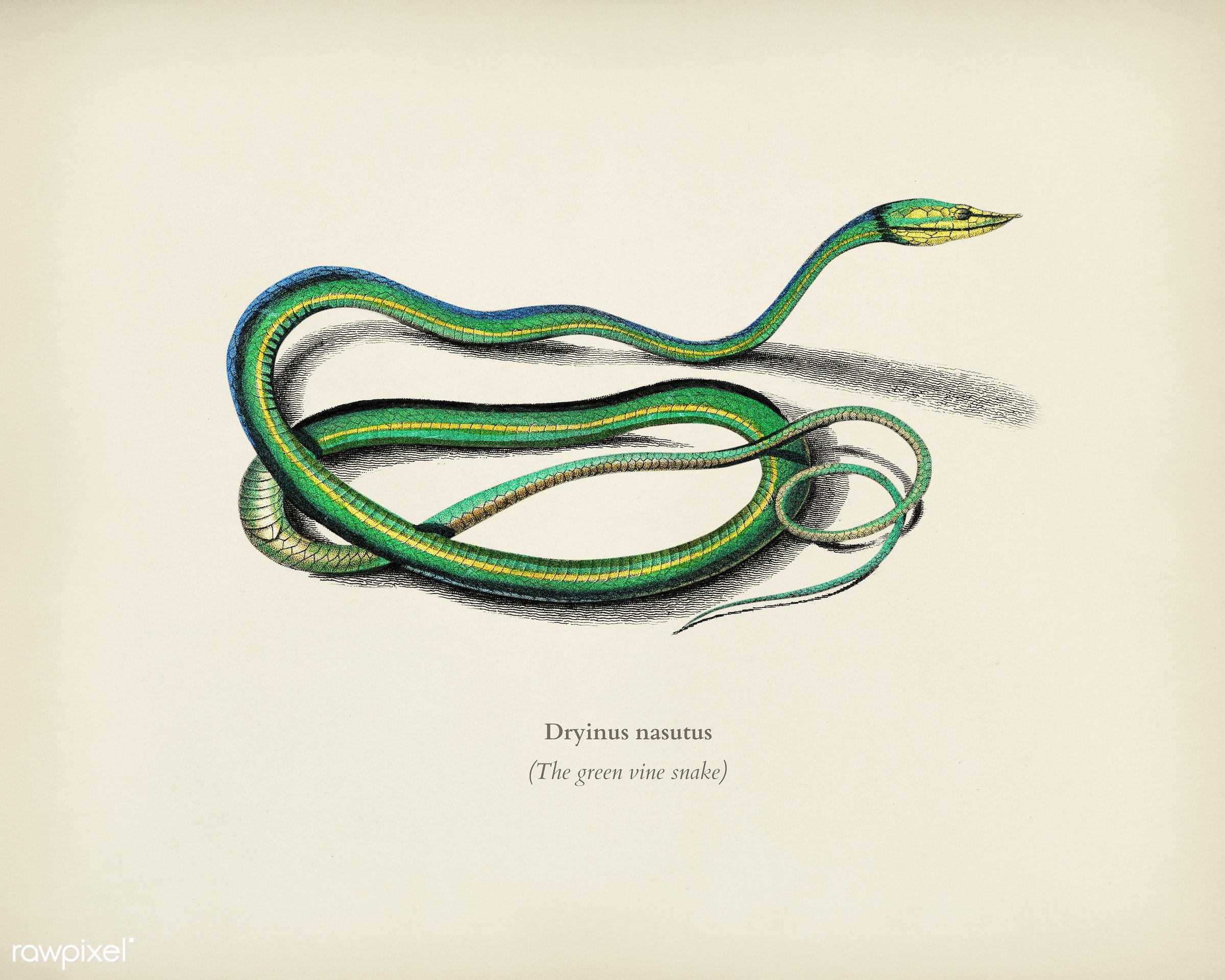 The green vine snake (Dryinus Nasutus) illustrated by Charles Dessalines D' Orbigny (1806-1876). Digitally enhanced from...
