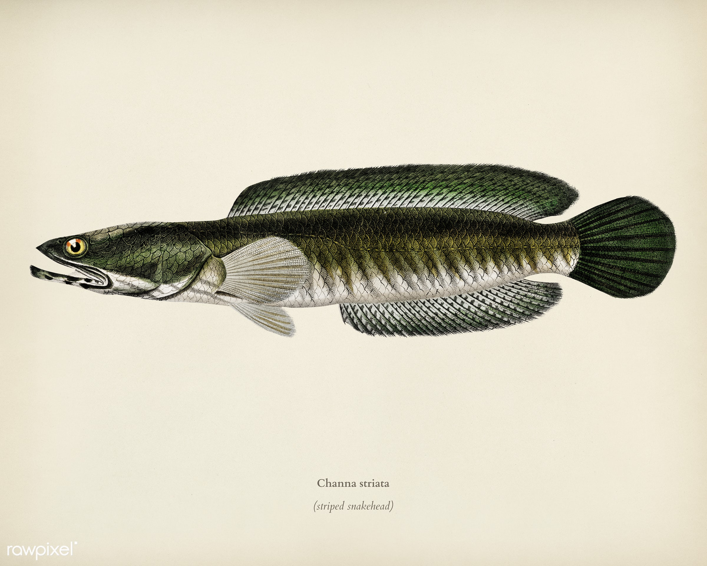 Striped snakehead (Channa striata) illustrated by Charles Dessalines D' Orbigny (1806-1876). Digitally enhanced from our...