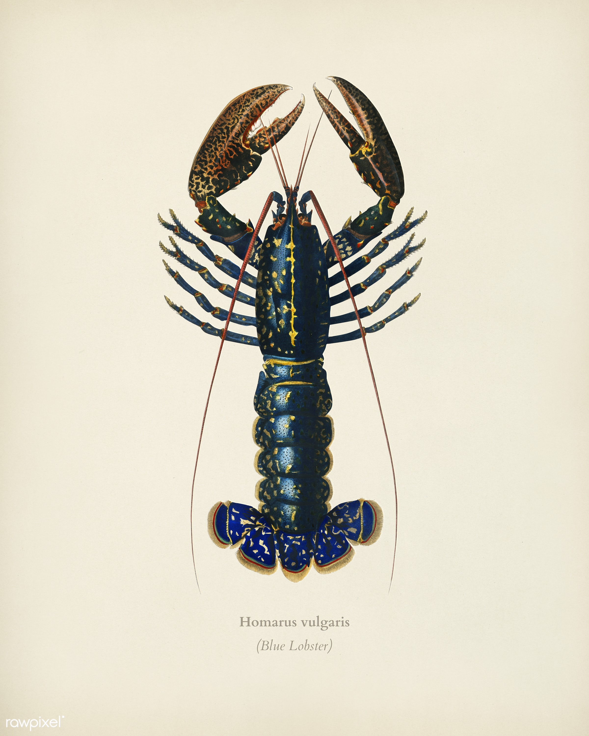 Crimson Crawfish (Palemon Ornatum) illustrated by Charles Dessalines D' Orbigny (1806-1876). Digitally enhanced from our...