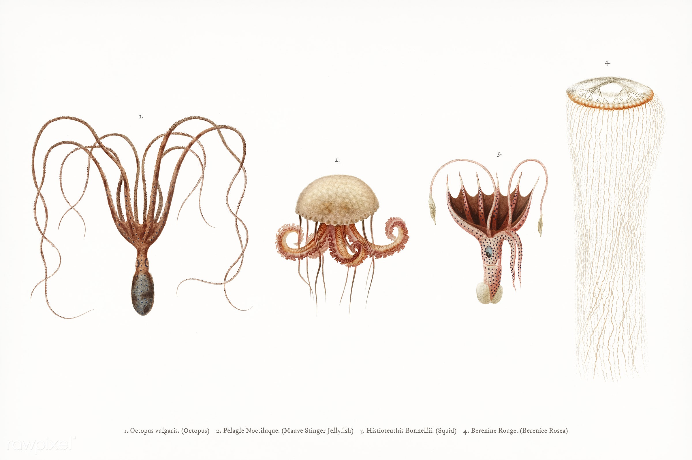 Different types of marine life illustrated by Charles Dessalines D' Orbigny (1806-1876). Digitally enhanced from our own...