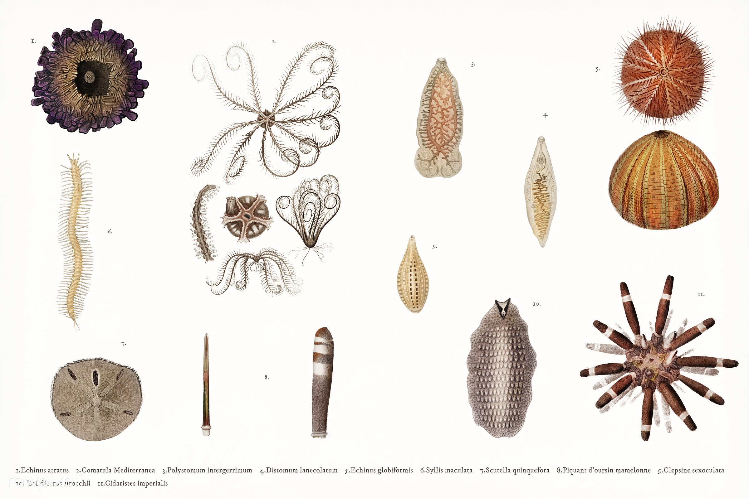Different types of sea urchins illustrated by Charles Dessalines D' Orbigny (1806-1876) Digitally enhanced from our own...