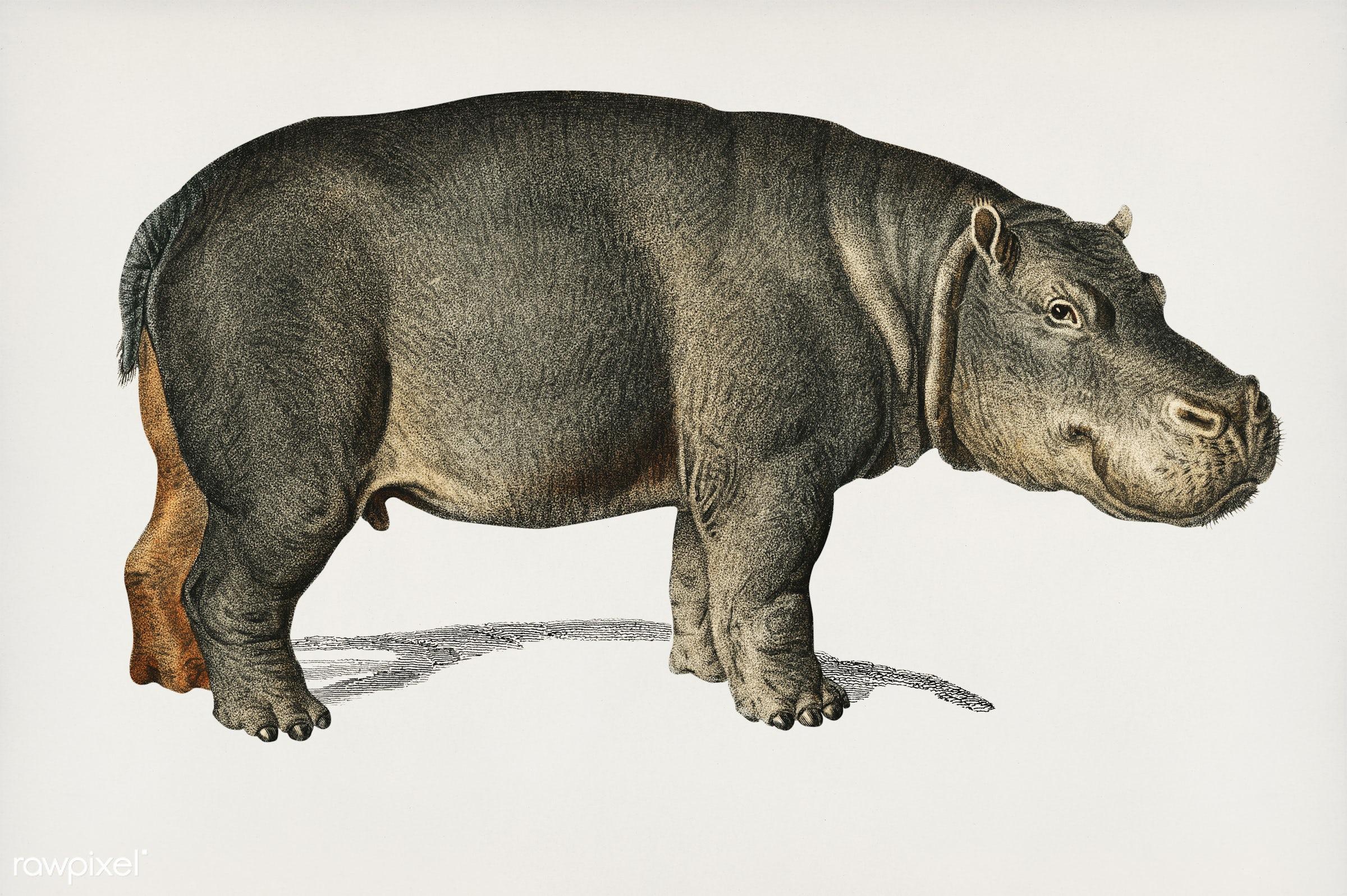 Hippopotamus (Hippopotame Amphibie) illustrated by Charles Dessalines D' Orbigny (1806-1876). Digitally enhanced from...