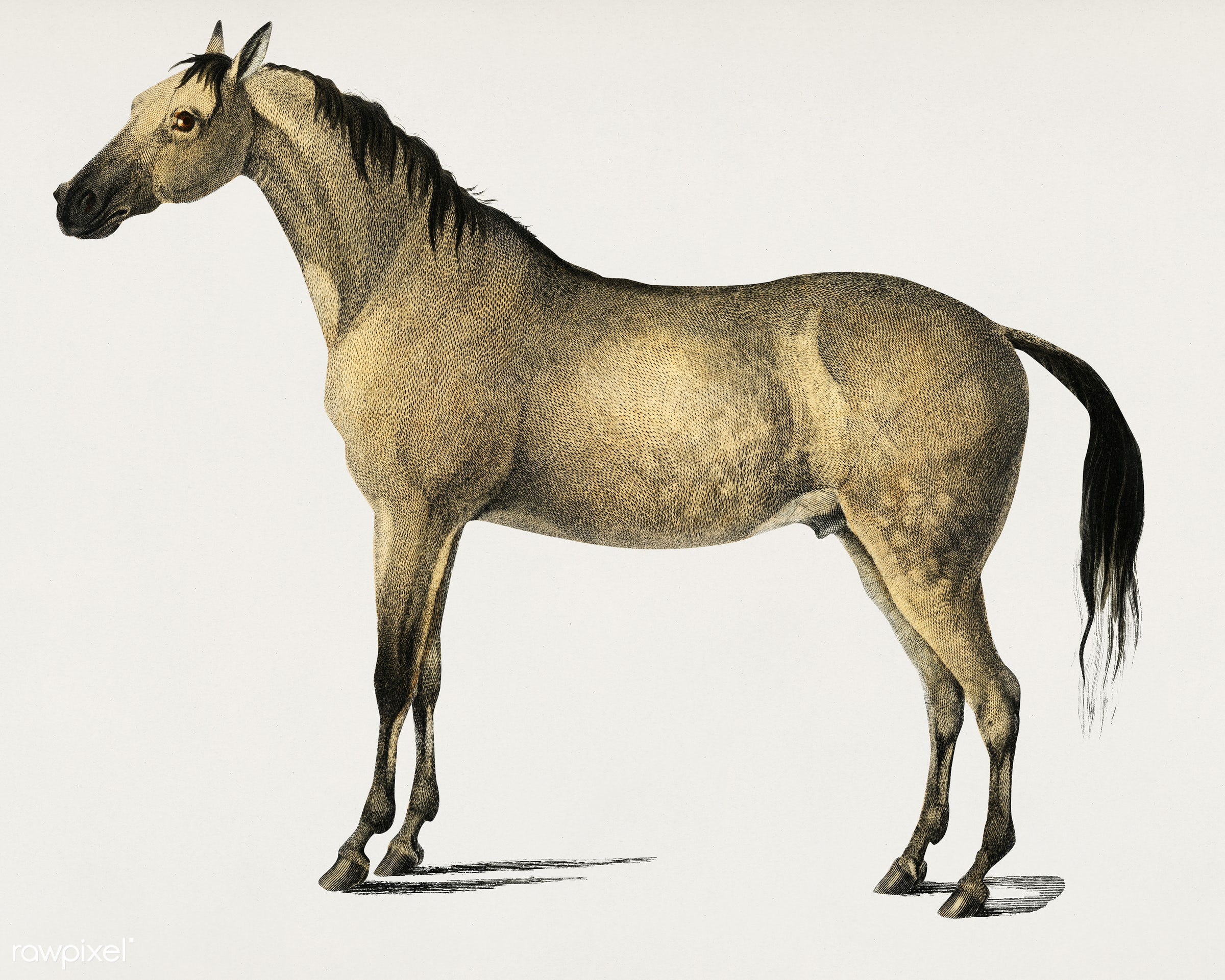Horse (Equus ferus caballus) illustrated by Charles Dessalines D' Orbigny (1806-1876). Digitally enhanced from our own...