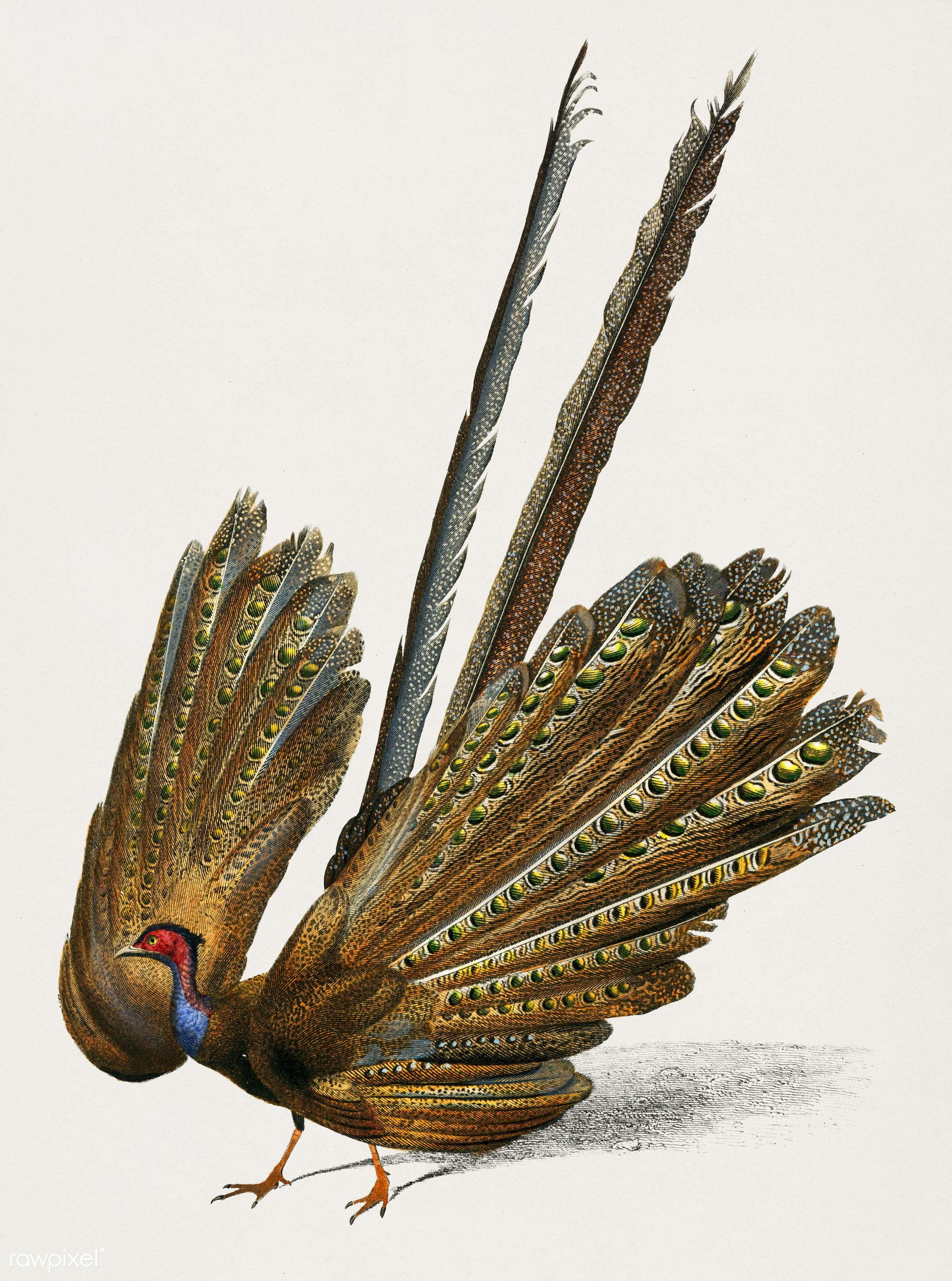 Great argus (Phasianus argus) illustrated by Charles Dessalines D' Orbigny (1806-1876). Digitally enhanced from our own...
