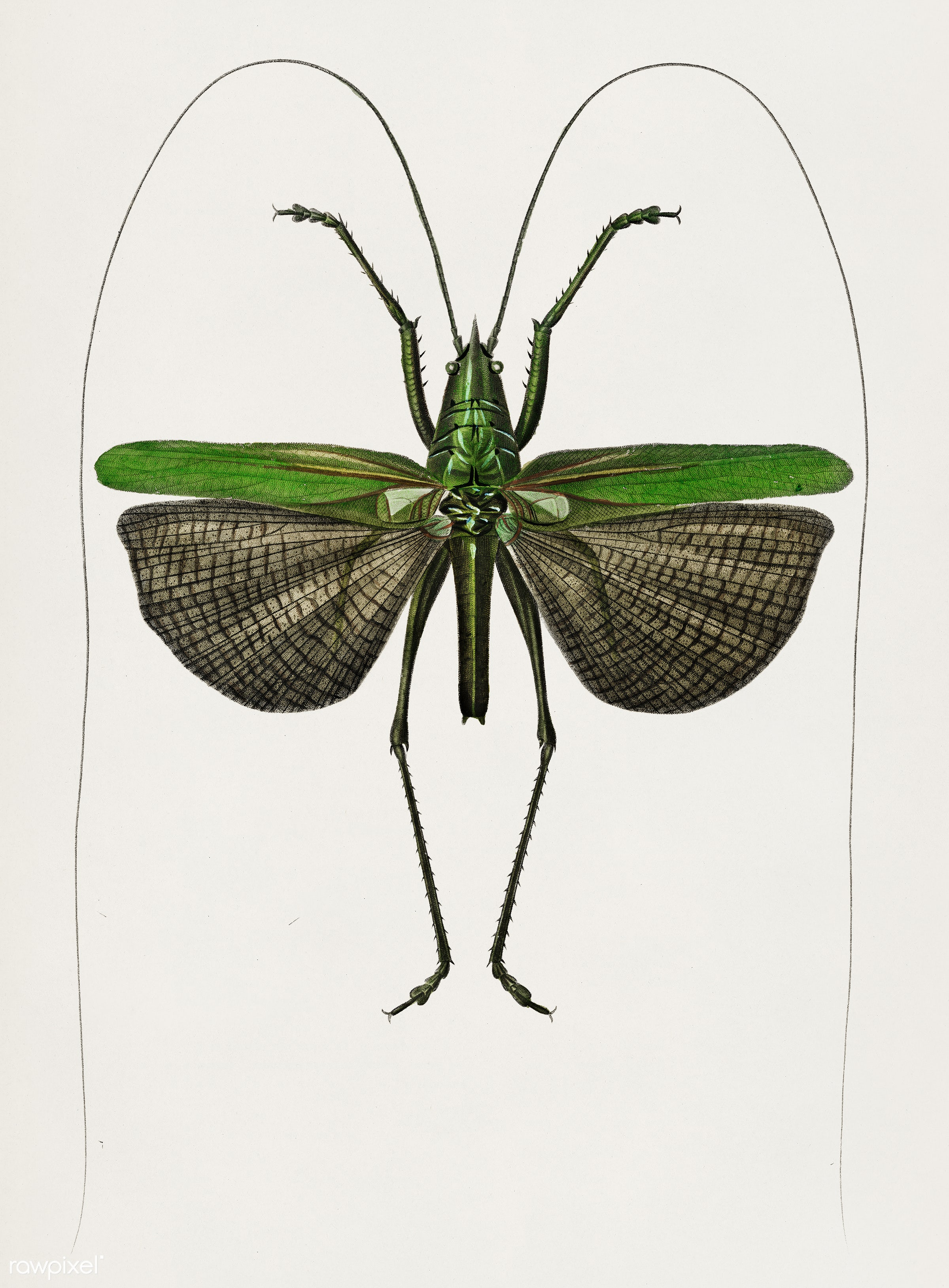 Grasshopper of six points (Locusta sexpunctata) illustrated by Charles Dessalines D' Orbigny (1806-1876). Digitally...