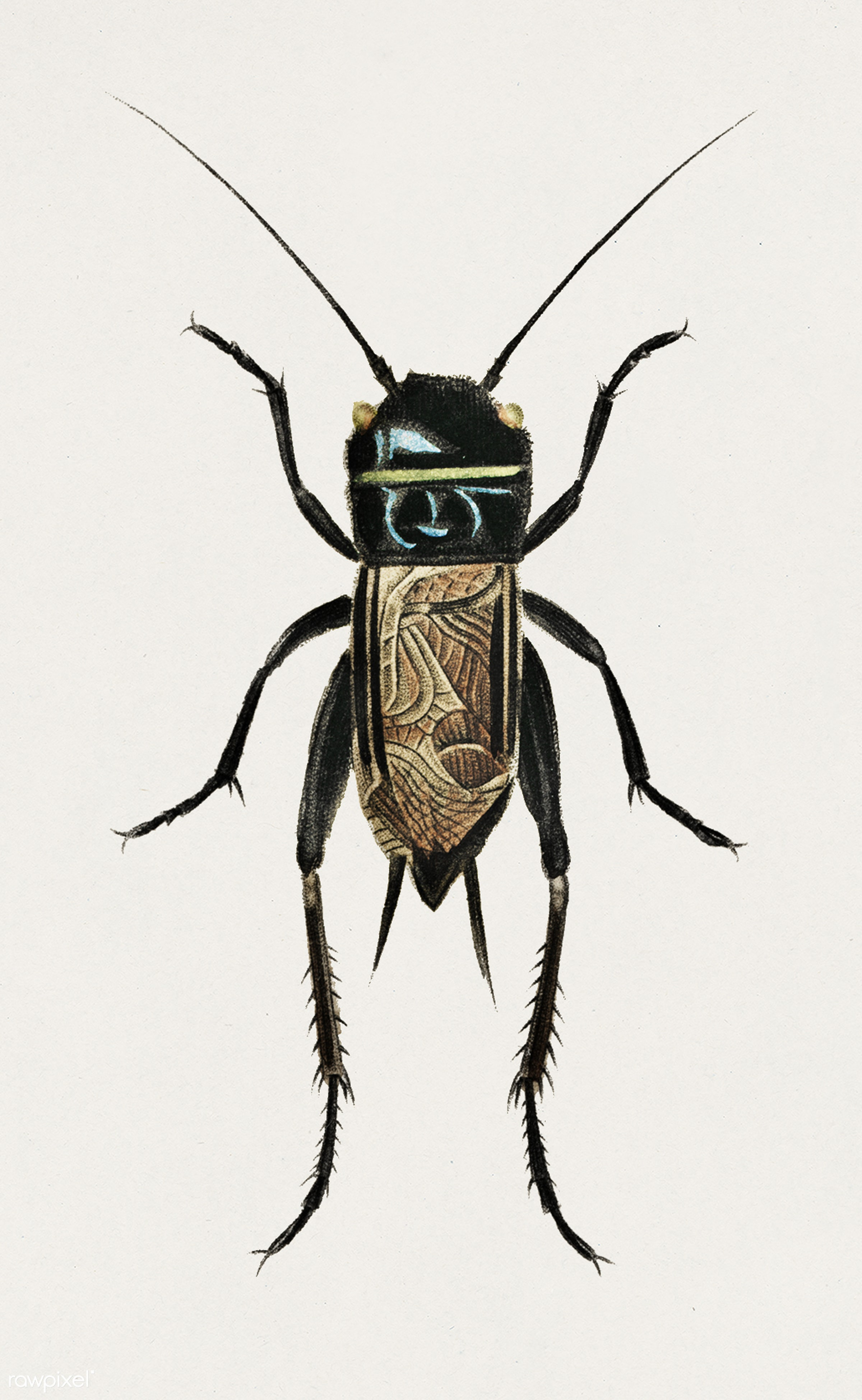 Field crickets (Gryllus campestris) illustrated by Charles Dessalines D' Orbigny (1806-1876). Digitally enhanced from...