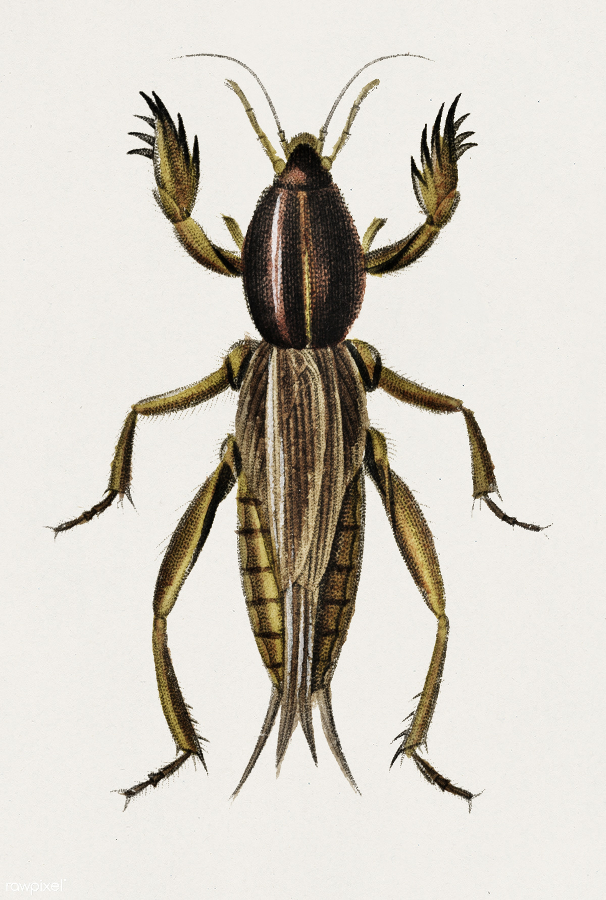 Australian Crickets (Gryllotalpa mitidula) illustrated by Charles Dessalines D' Orbigny (1806-1876). Digitally enhanced...