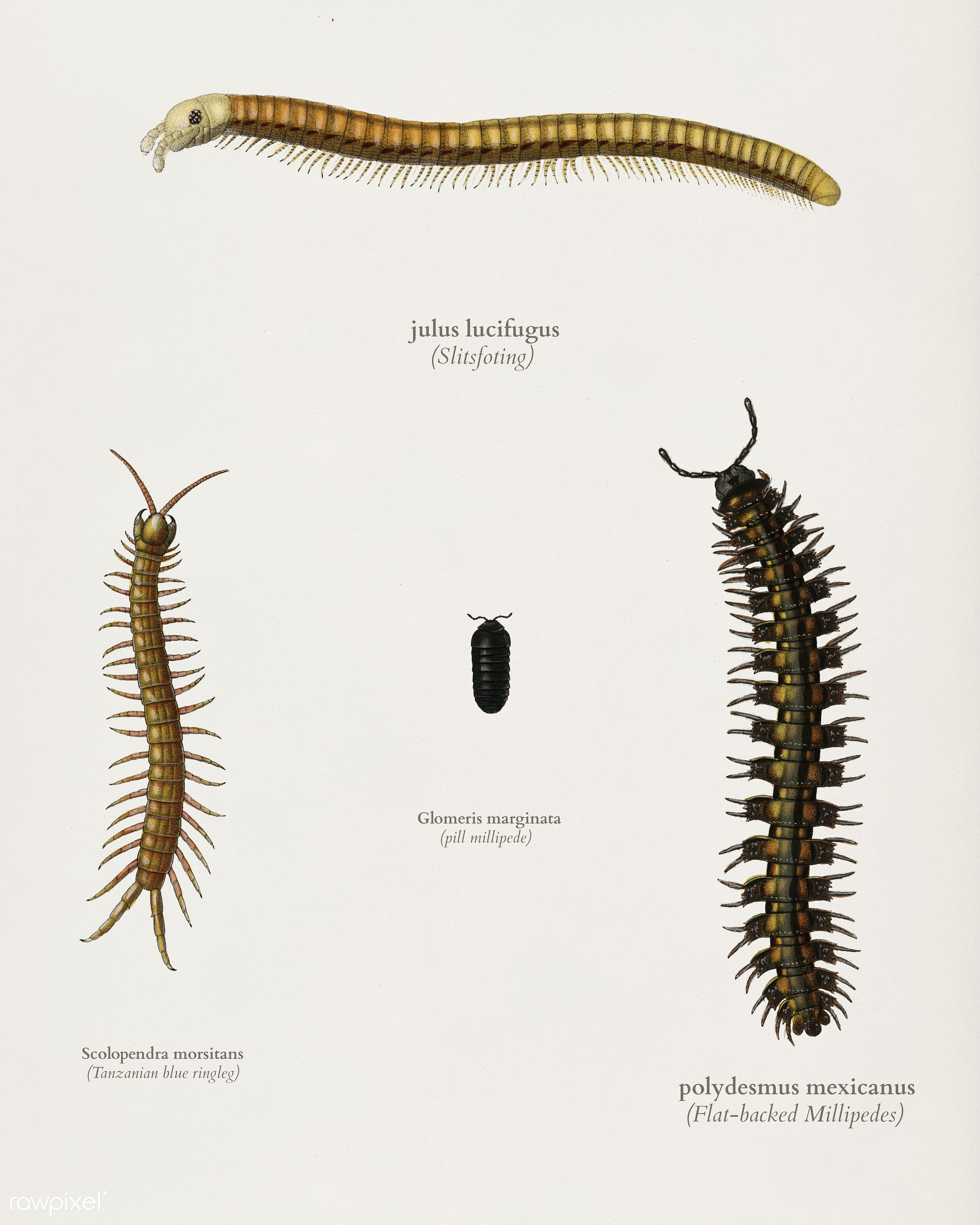 Different types of millipede illustrated by Charles Dessalines D' Orbigny (1806-1876). Digitally enhanced from our own...