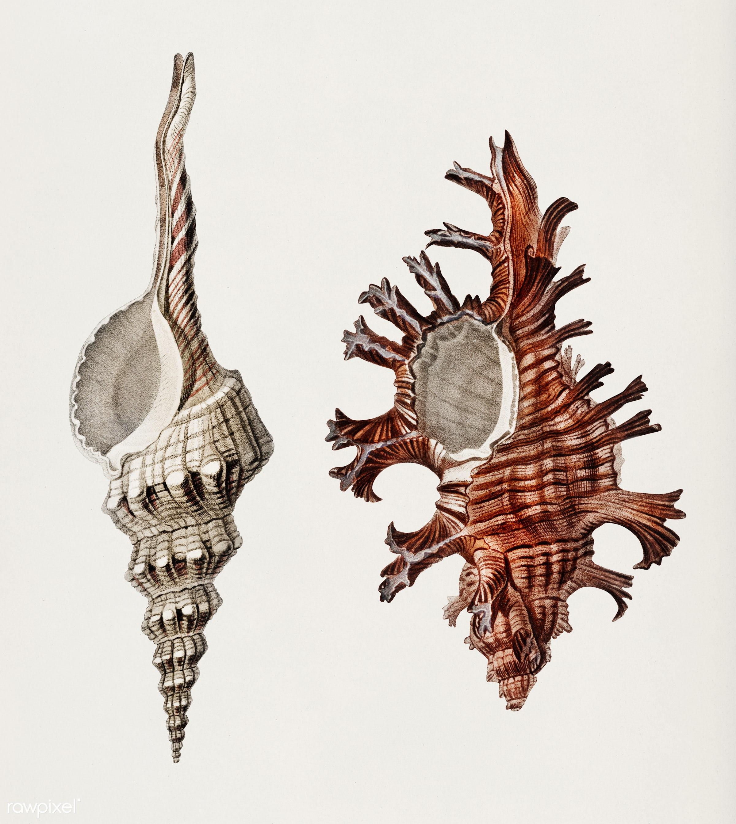 Fusus shells (Fusus longirostris) and Colorful murex (Murex palma rose) illustrated by Charles Dessalines D' Orbigny (...