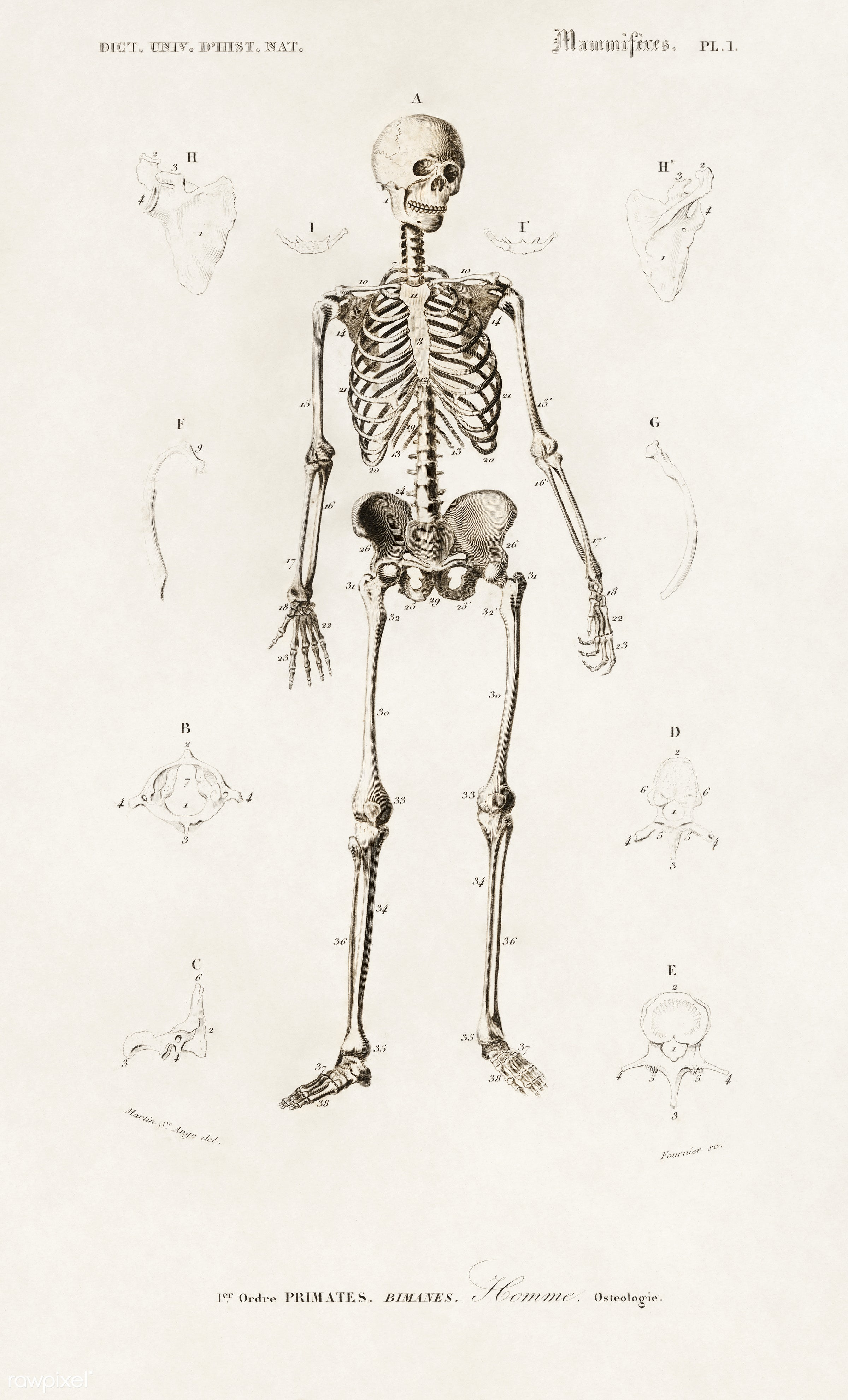 Human skeleton illustrated by Charles Dessalines D' Orbigny (1806-1876). Digitally enhanced from our own 1892 edition of...