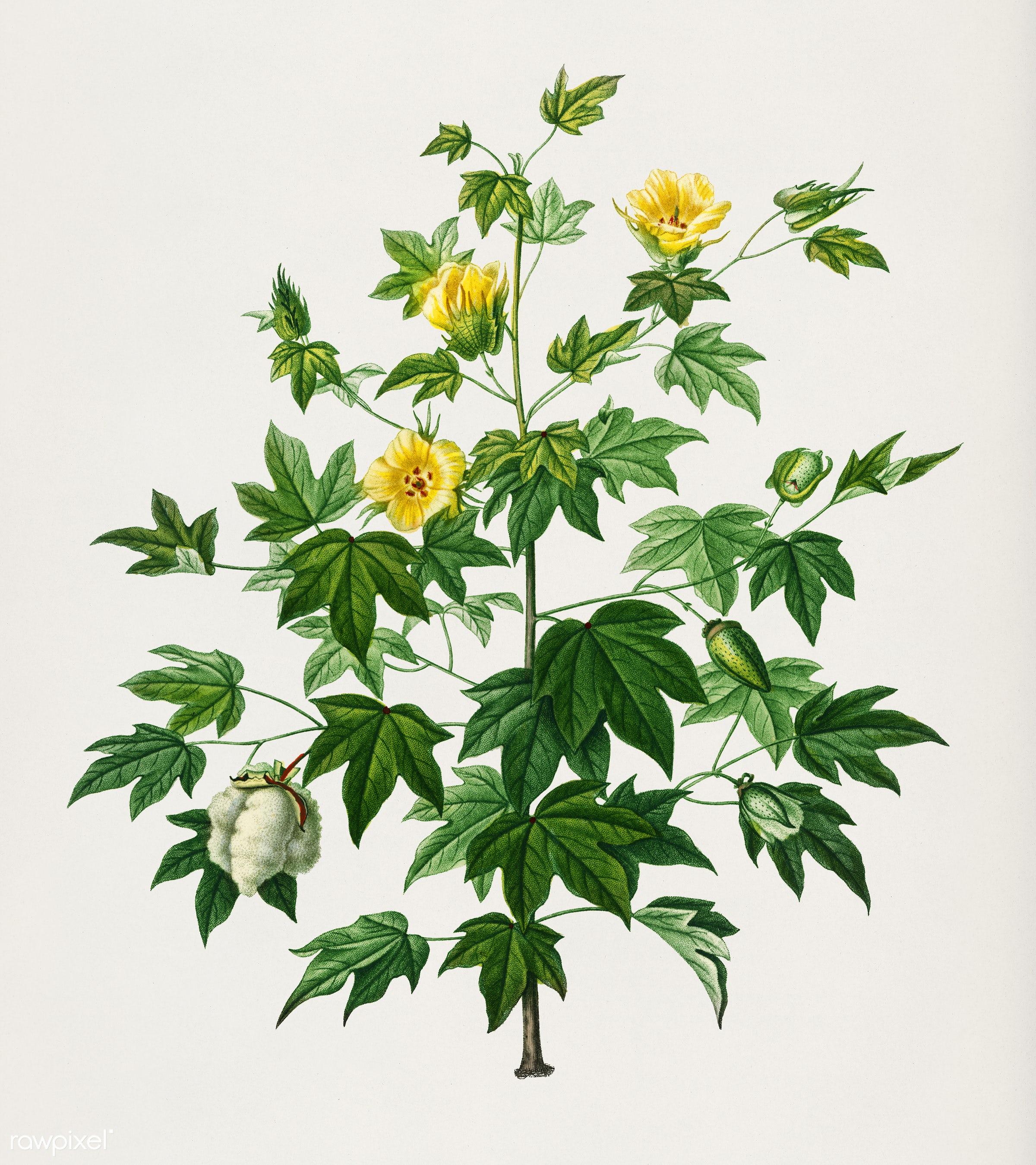 Sea Island cotton (gossypium vitifolium) illustrated by Charles Dessalines D' Orbigny (1806-1876). Digitally enhanced...