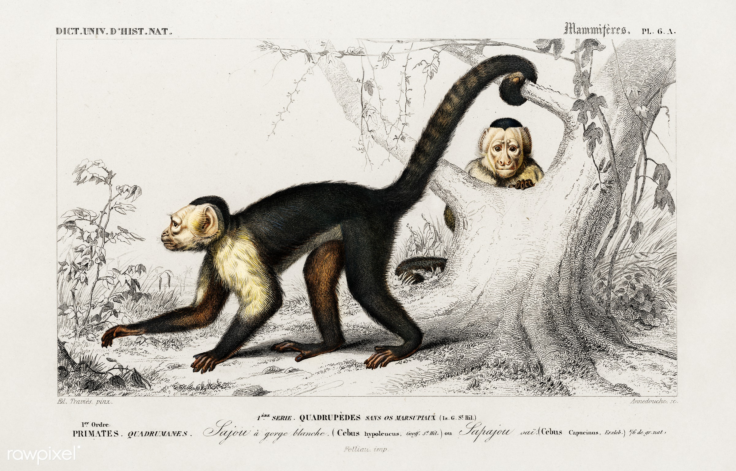 White-headed capuchin (Cebus Hypoleucus) illustrated by Charles Dessalines D' Orbigny (1806-1876). Digitally enhanced...