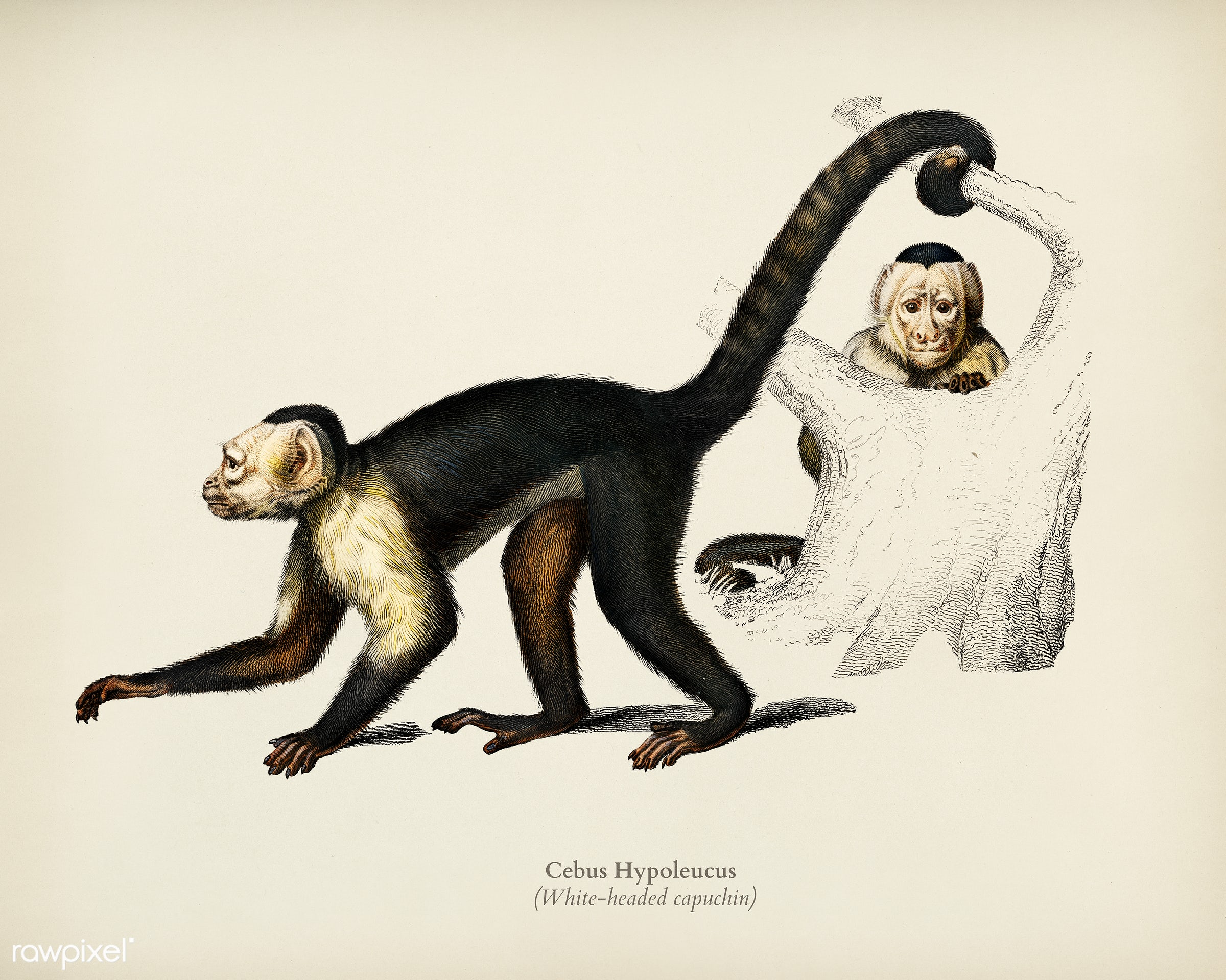 White-headed capuchin (Cebus Hypoleucus) illustrated by Charles Dessalines D' Orbigny (1806-1876). Digitally enhanced...