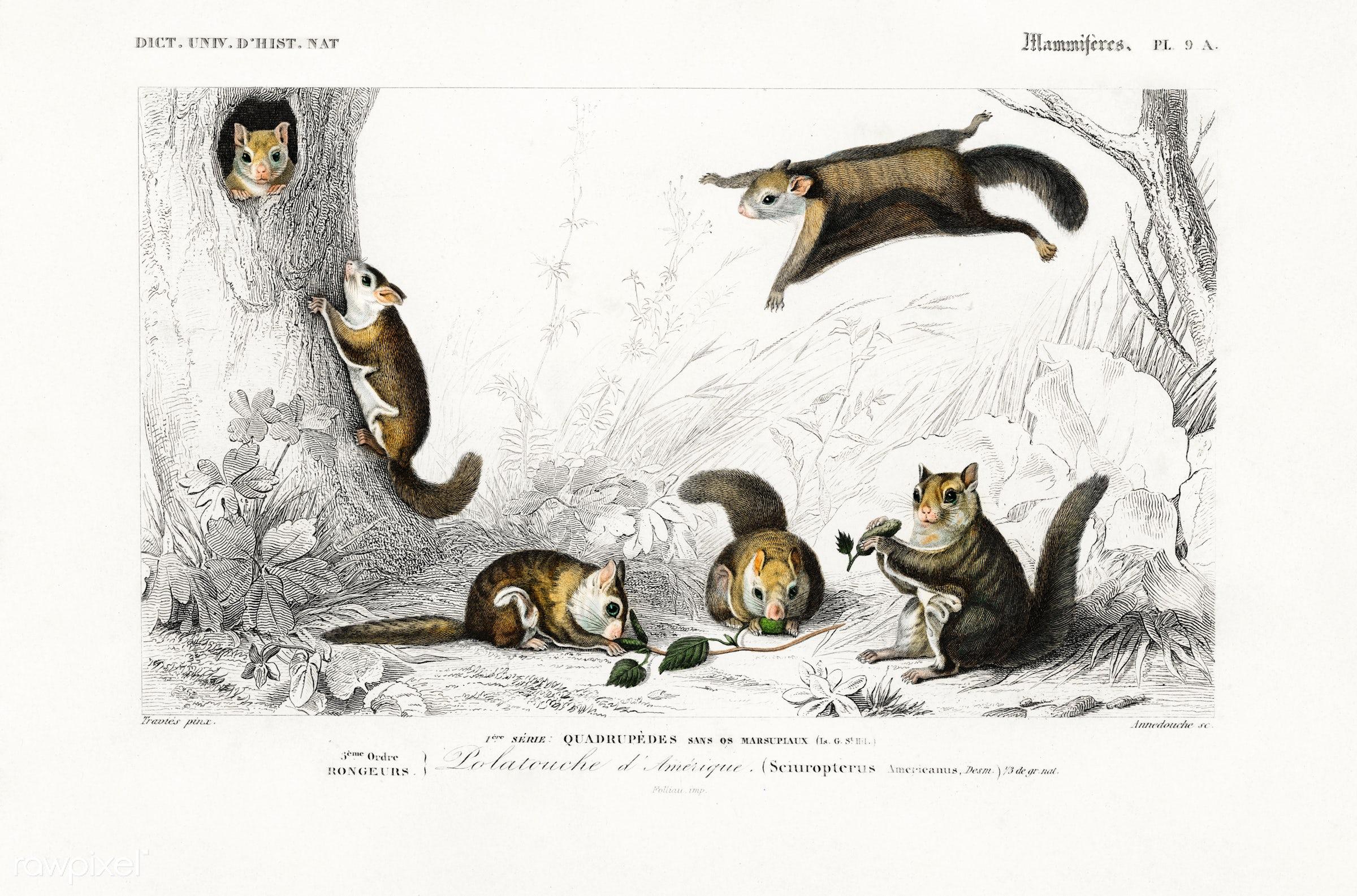 Glaucomys sabrinus (Polatouche D Amerique) illustrated by Charles Dessalines D' Orbigny (1806-1876). Digitally enhanced...