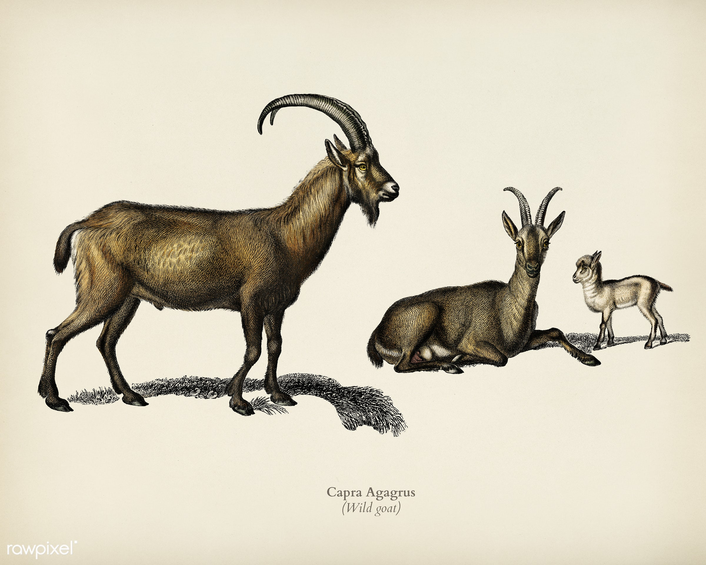 Wild goat (Capra Agagrus) illustrated by Charles Dessalines D' Orbigny (1806-1876). Digitally enhanced from our own 1892...