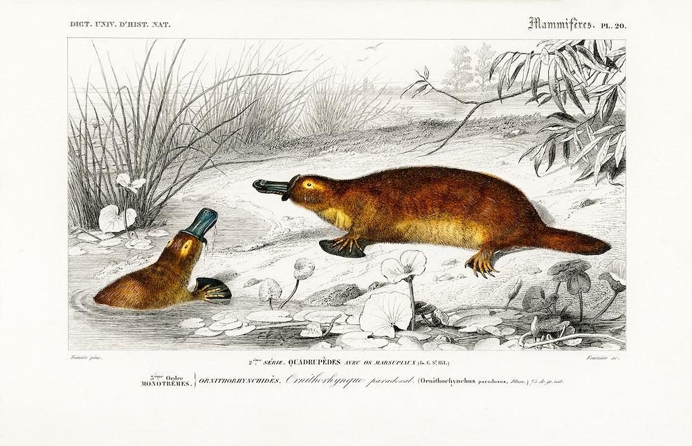 Platypus (Ornithorhynchus Paradoxus) illustrated by Charles Dessalines D' Orbigny (1806-1876). Digitally enhanced from...