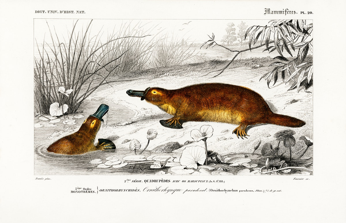 Platypus (Ornithorhynchus Paradoxus) illustrated by Charles Dessalines D' Orbigny (1806-1876). Digitally enhanced from our…