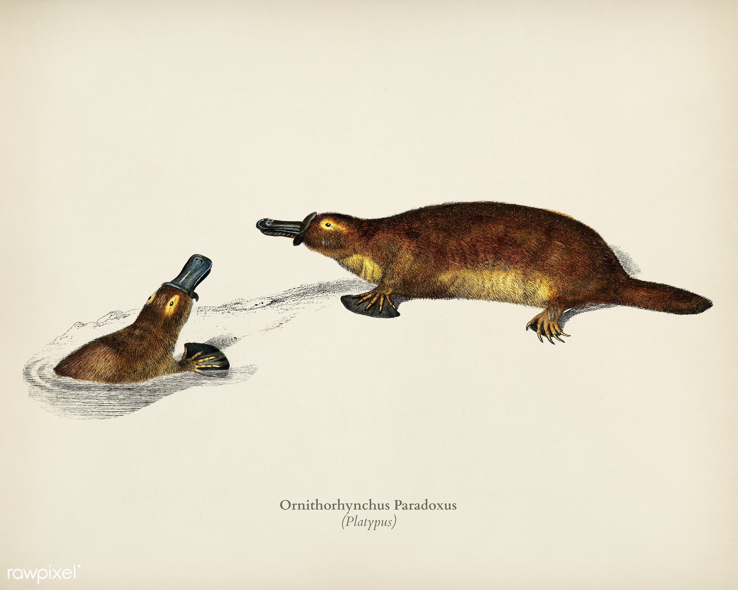 Platypus (Ornithorhynchus Paradoxus) illustrated by Charles Dessalines D' Orbigny (1806-1876). Digitally enhanced from...