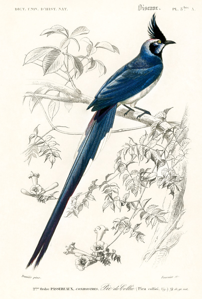 Black-throated magpie-jay (Pica colliei) illustrated by Charles Dessalines D' Orbigny (1806-1876). Digitally enhanced from…