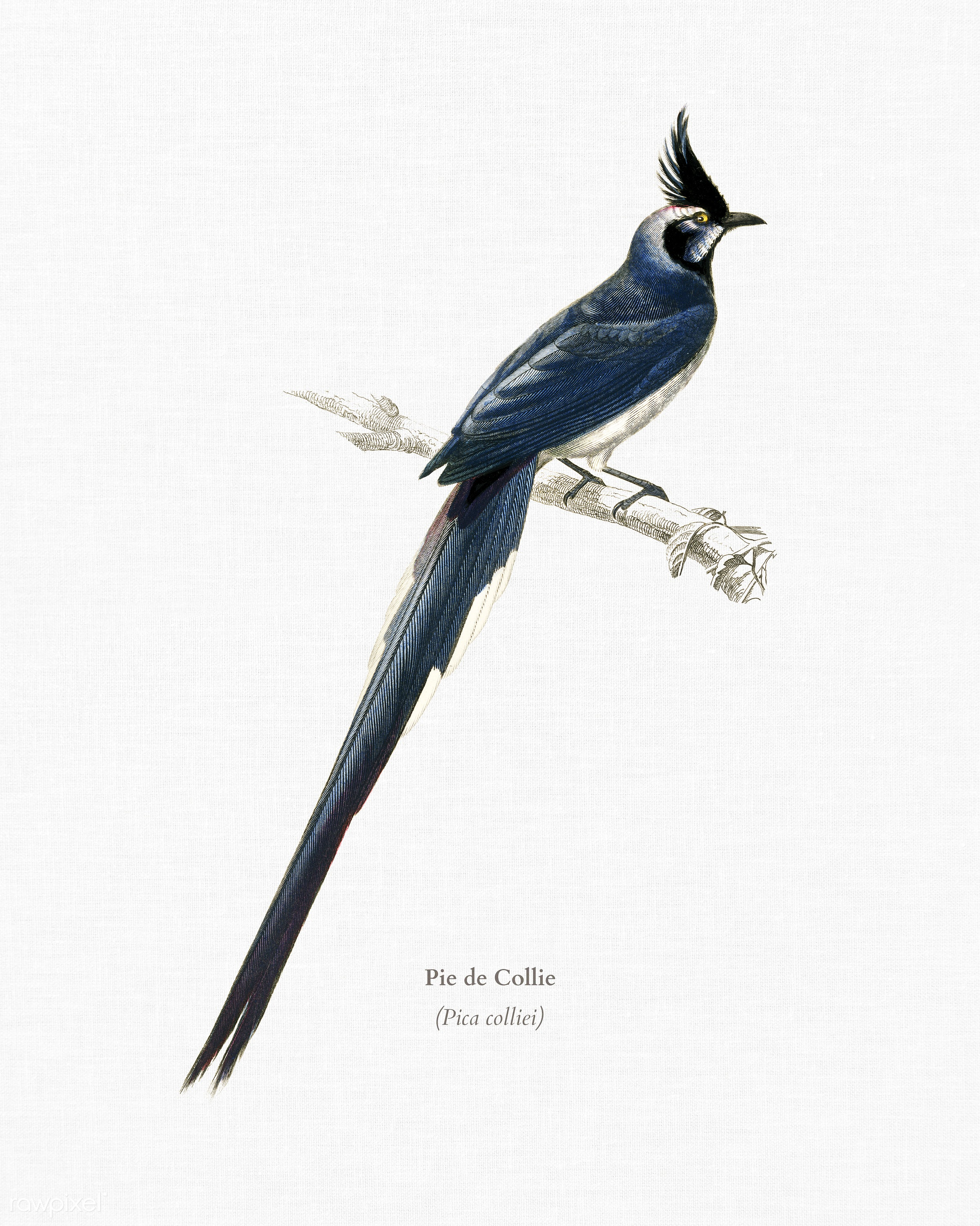 Black-throated magpie-jay (Pica colliei) illustrated by Charles Dessalines D' Orbigny (1806-1876). Digitally enhanced...