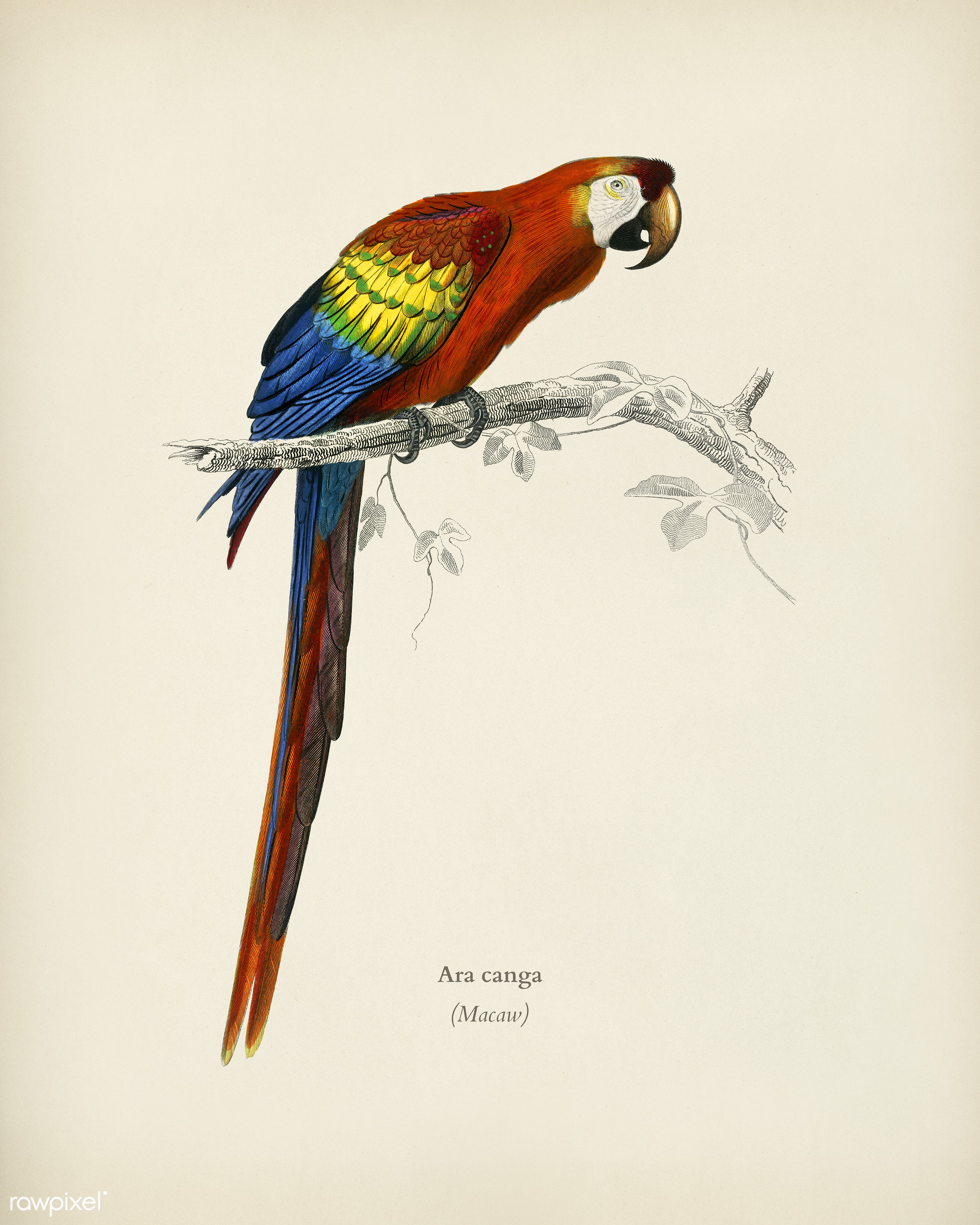 Macaw (Ara canga) illustrated by Charles Dessalines D' Orbigny (1806-1876). Digitally enhanced from our own 1892 edition...