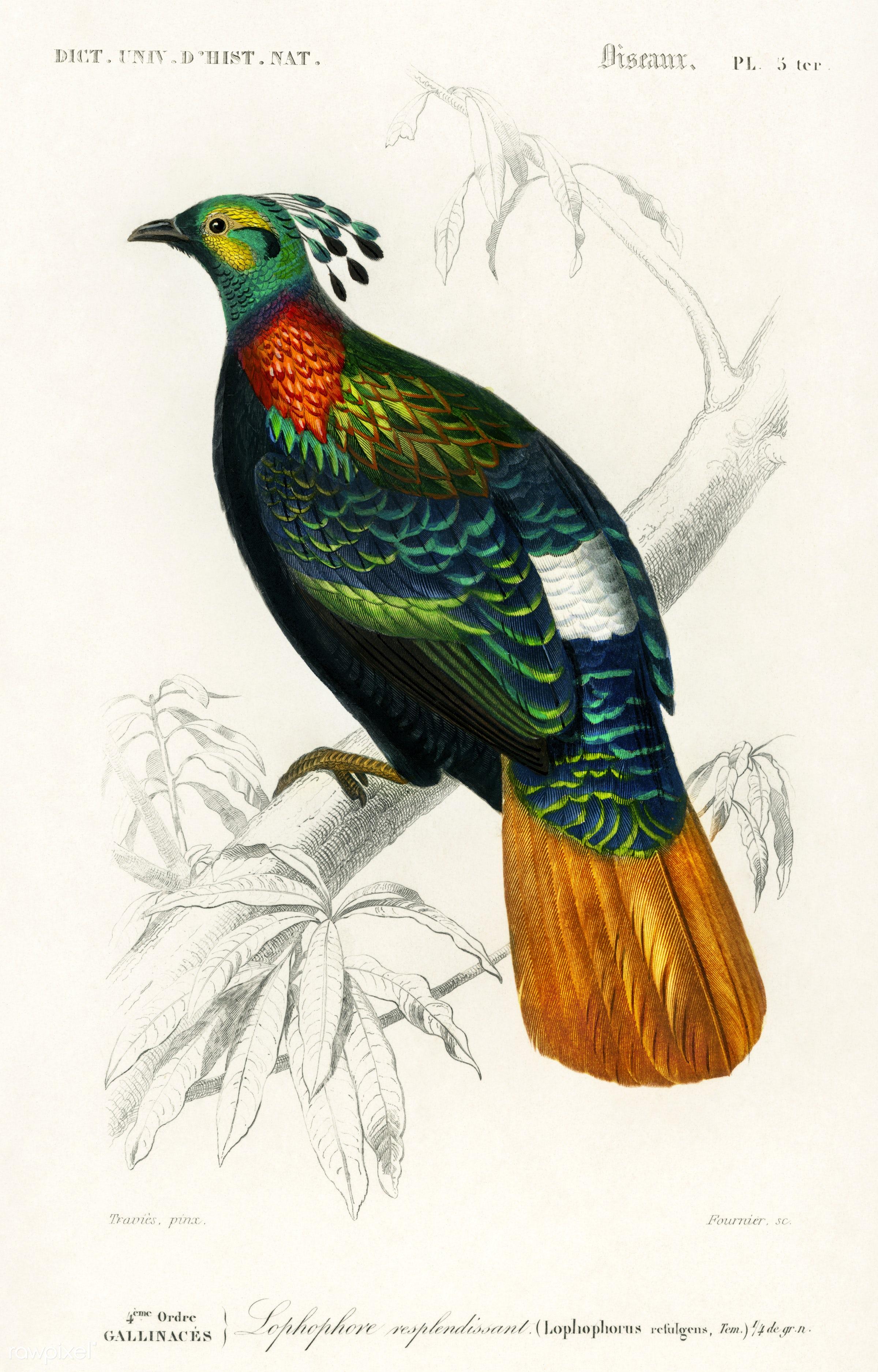Himalayan monal (Lophophorus refulgens) illustrated by Charles Dessalines D' Orbigny (1806-1876). Digitally enhanced...