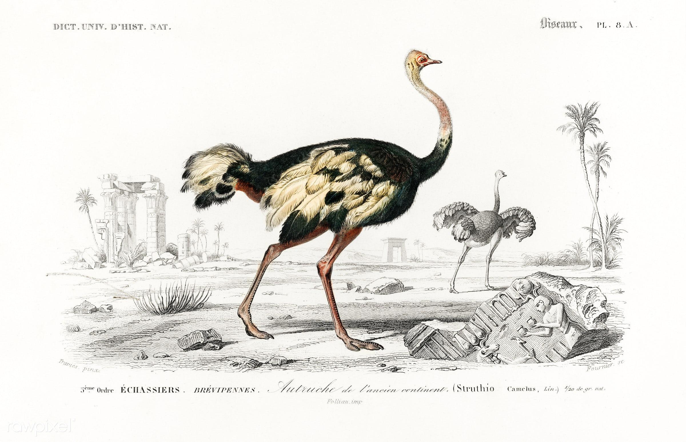 Struthio (Autruche de lancien continent) illustrated by Charles Dessalines D' Orbigny (1806-1876). Digitally enhanced...