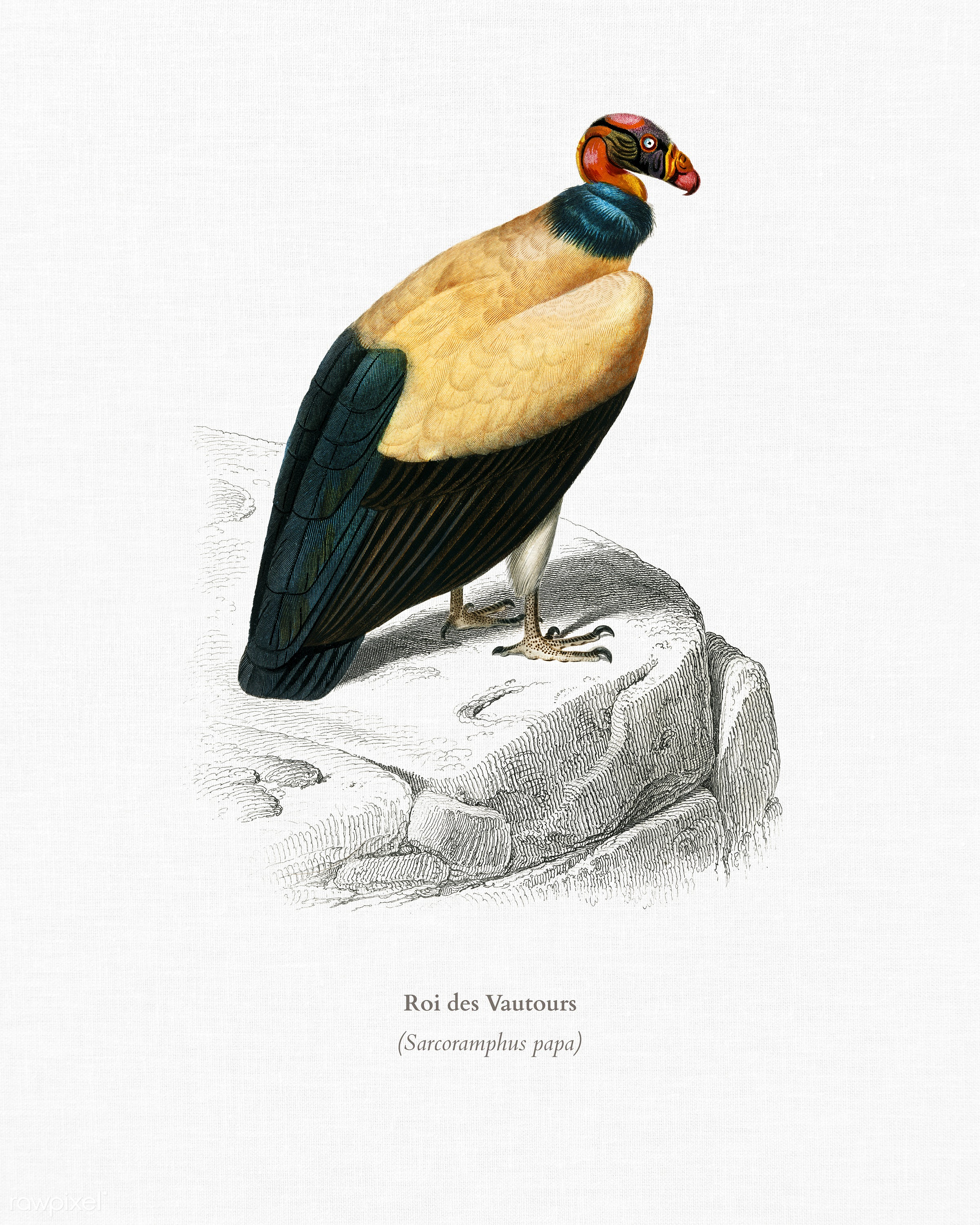 King vulture (Sarcoramphus papa) illustrated by Charles Dessalines D' Orbigny (1806-1876). Digitally enhanced from our...