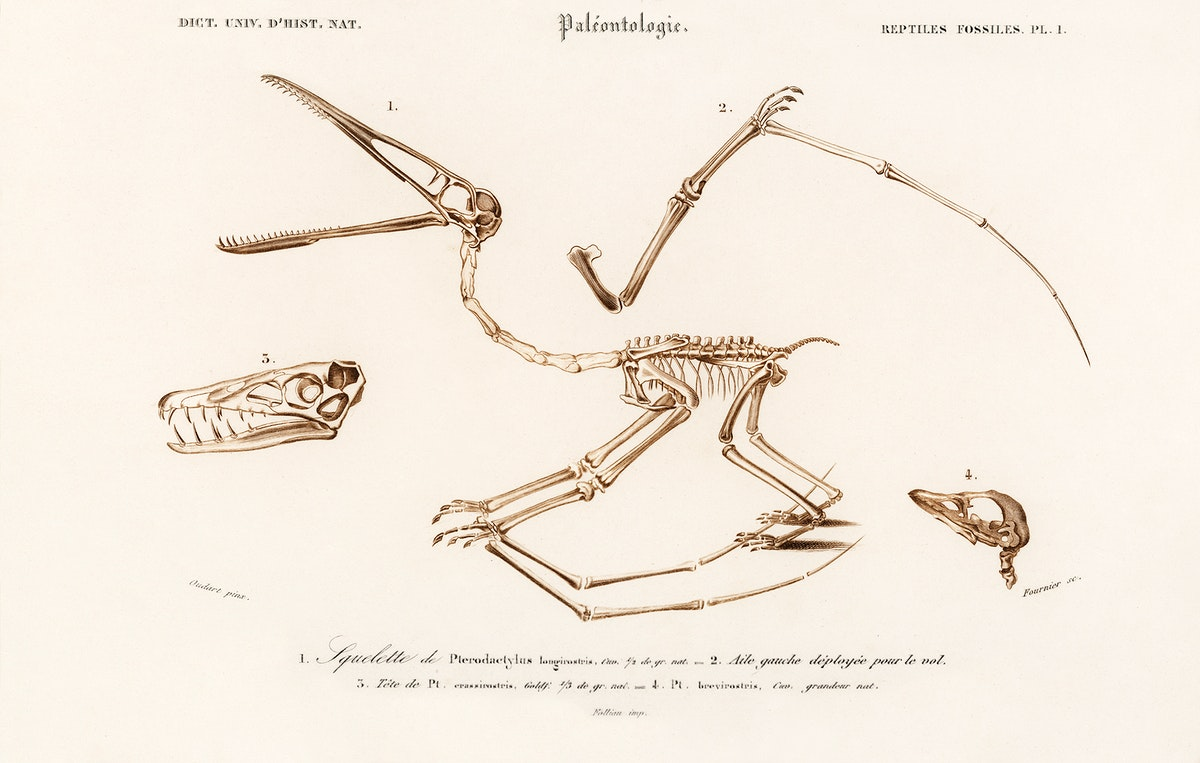 Pterosaur (Pterodactylus) illustrated by Charles Dessalines D' Orbigny (1806-1876). Digitally enhanced from our own 1892…