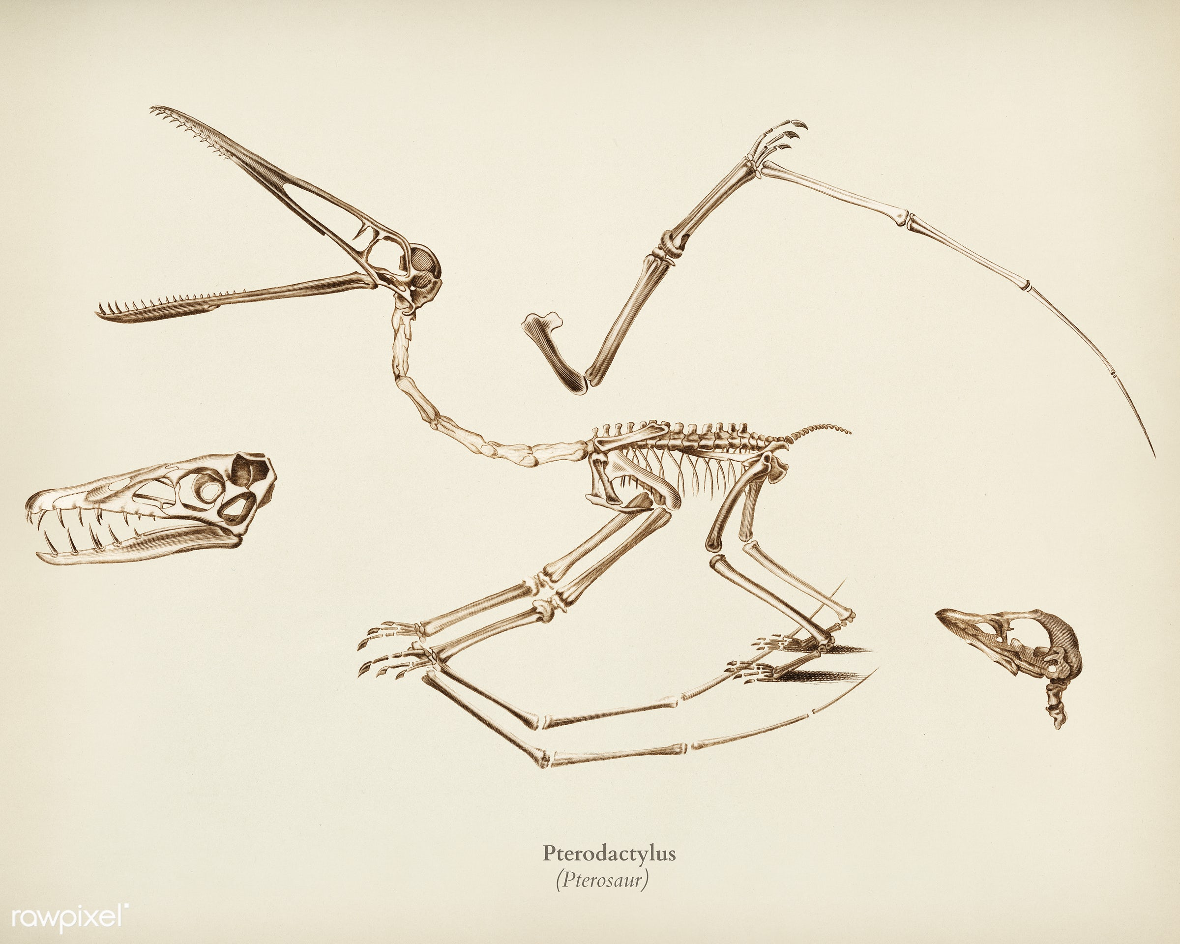 Pterosaur (Pterodactylus) illustrated by Charles Dessalines D' Orbigny (1806-1876). Digitally enhanced from our own 1892...
