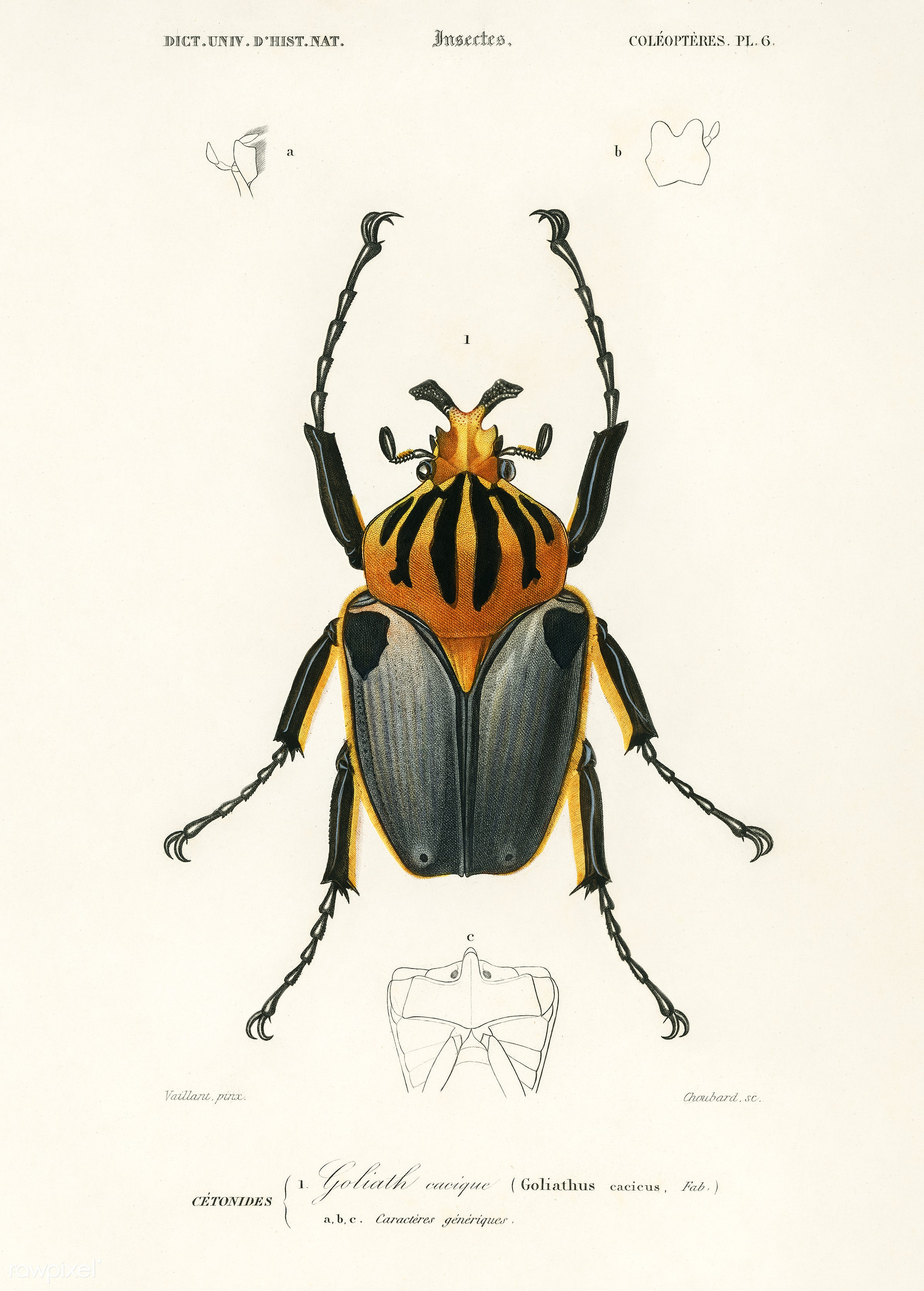 Goliathus cacicus illustrated by Charles Dessalines D' Orbigny (1806-1876). Digitally enhanced from our own 1892 edition...