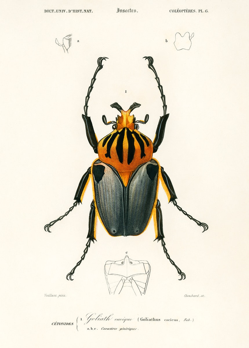 Goliathus cacicus illustrated by Charles Dessalines D' Orbigny (1806-1876). Digitally enhanced from our own 1892 edition of…