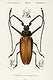 """Enoplocerus Armillatus illustrated by <a href=""""https://www.rawpixel.com/search/Charles%20Dessalines%20D%27%20Orbigny?sort=curated&amp;page=1"""">Charles Dessalines D&#39; Orbigny</a> (1806-1876). Digitally enhanced from our own 1892 edition of Dictionnaire Universel D&#39;histoire Naturelle."""