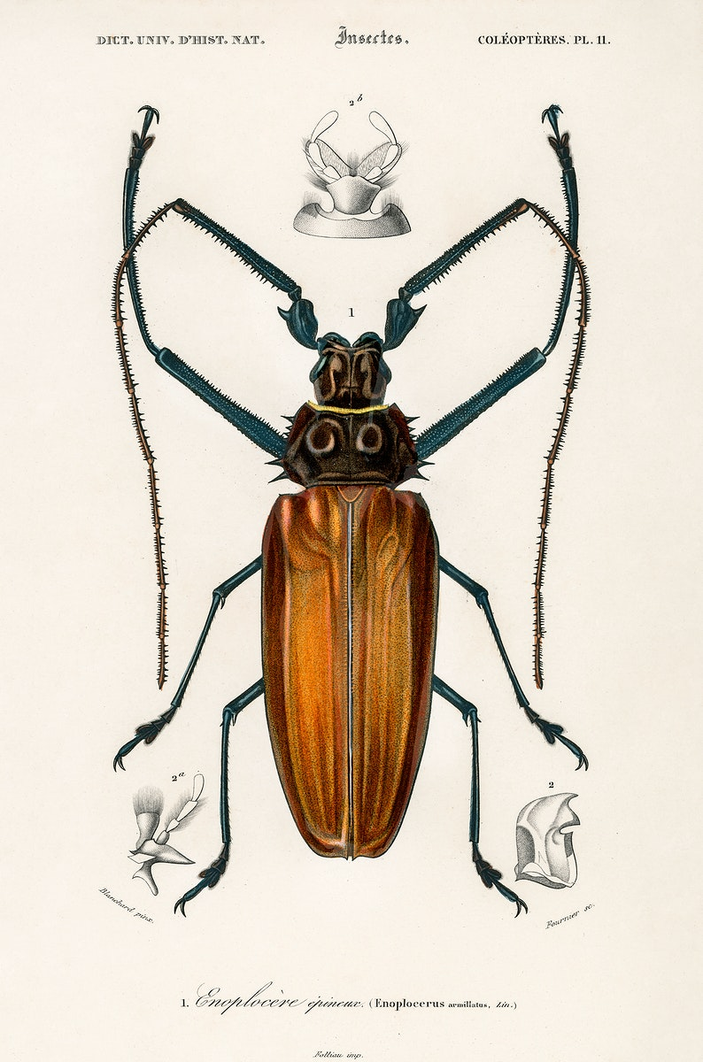 Enoplocerus Armillatus illustrated by Charles Dessalines D' Orbigny (1806-1876). Digitally enhanced from our own 1892 edition…