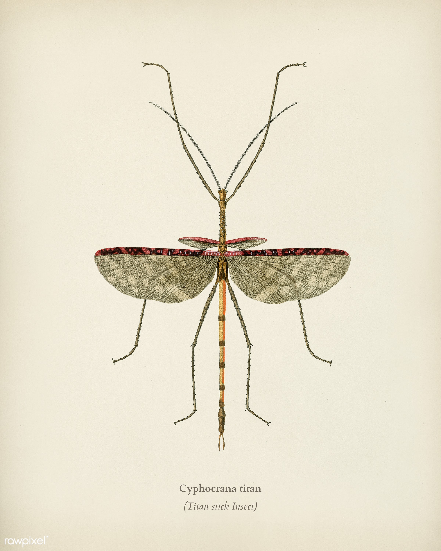 Cyphocrana titan illustrated by Charles Dessalines D' Orbigny (1806-1876). Digitally enhanced from our own 1892 edition...