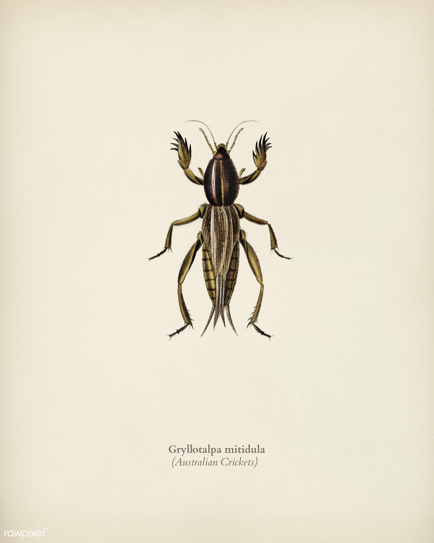 Australian Crickets (Gryllotalpa mitidula) illustrated by Charles Dessalines D' Orbigny (1806-1876). Digitally enhanced...