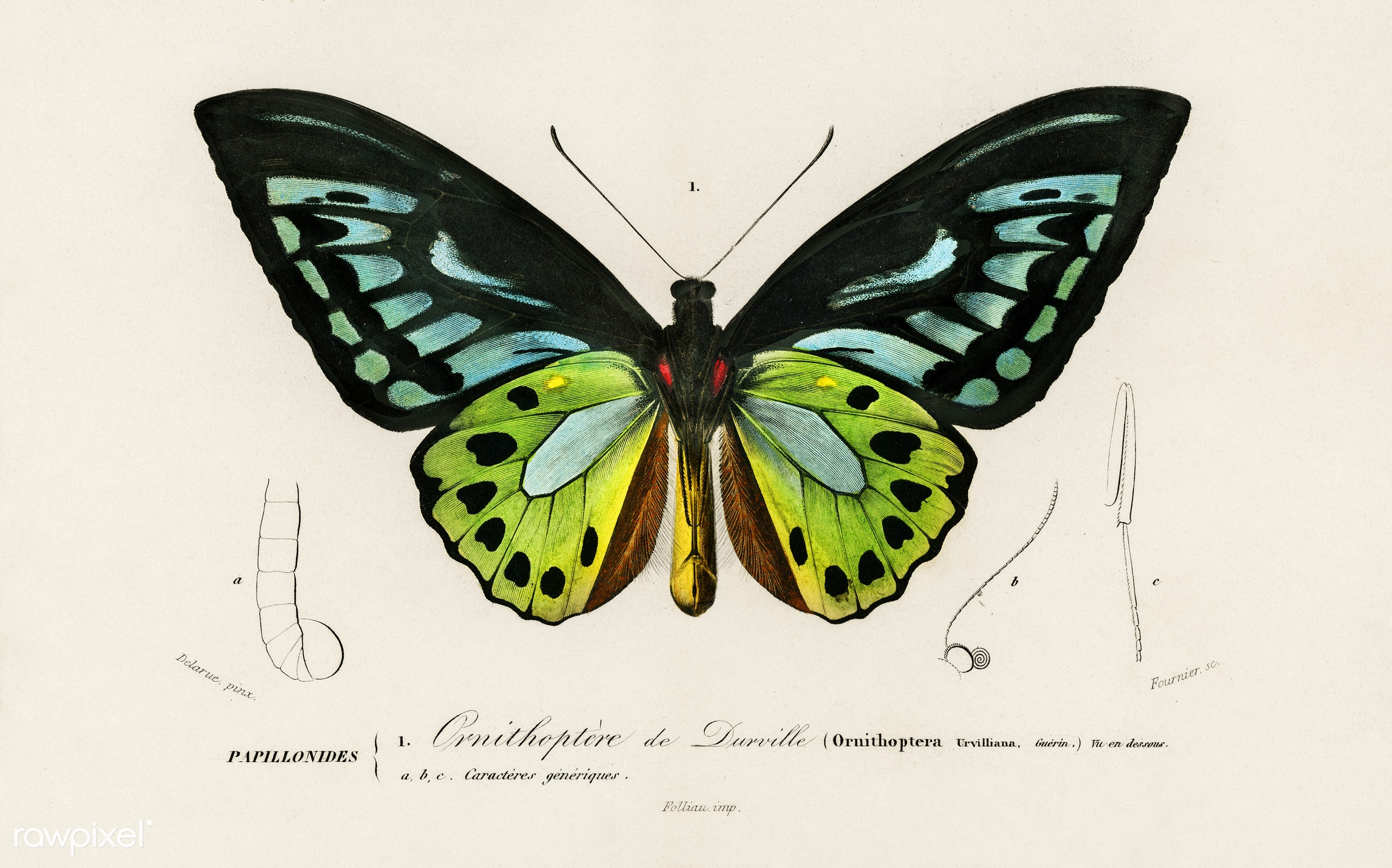 Green birdwing (Ornithoptera priamus) illustrated by Charles Dessalines D' Orbigny (1806-1876). Digitally enhanced from...