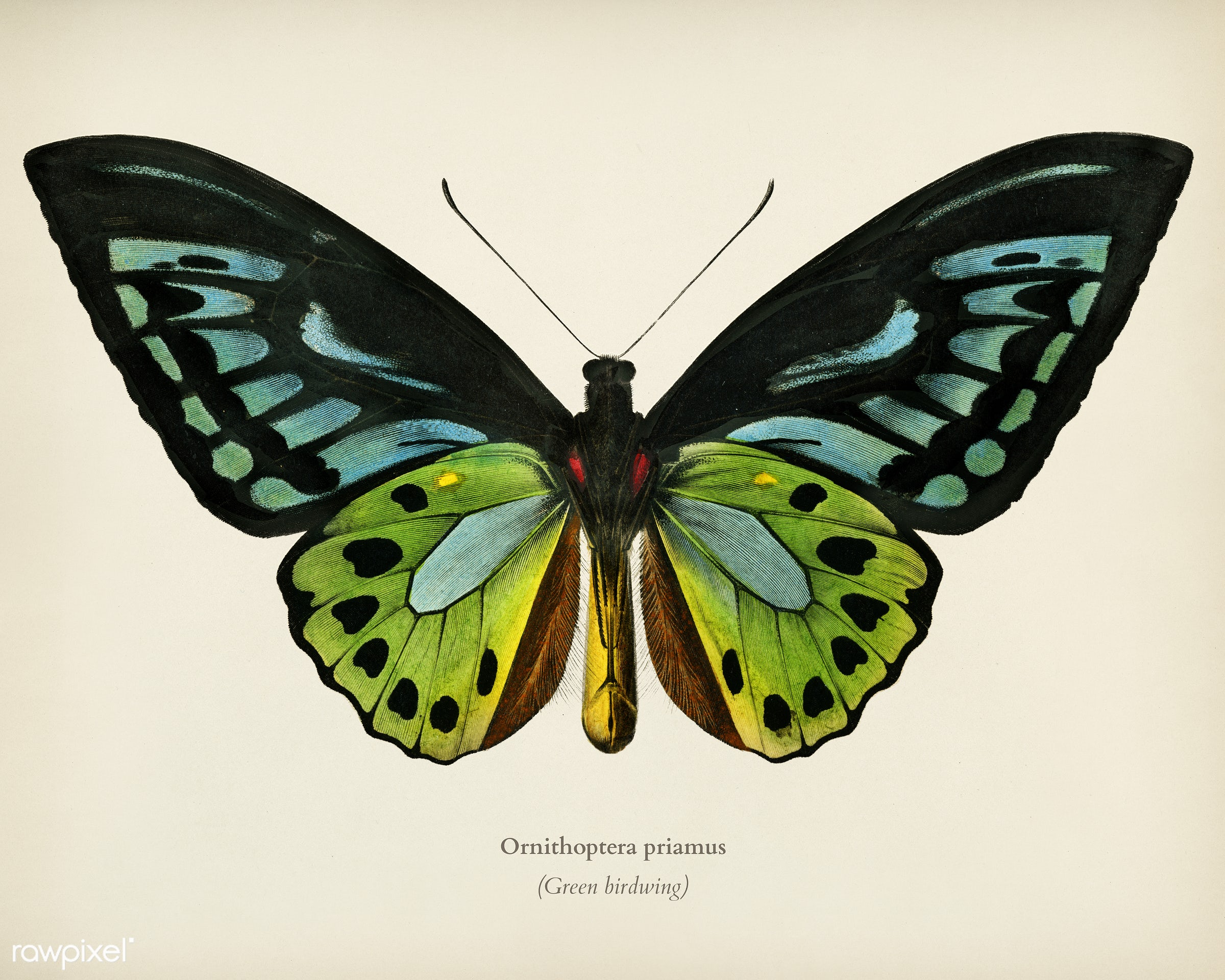Green birdwing (Ornithoptera priamus) illustrated by Charles Dessalines D' Orbigny (1806-1876). Digitally enhanced from...