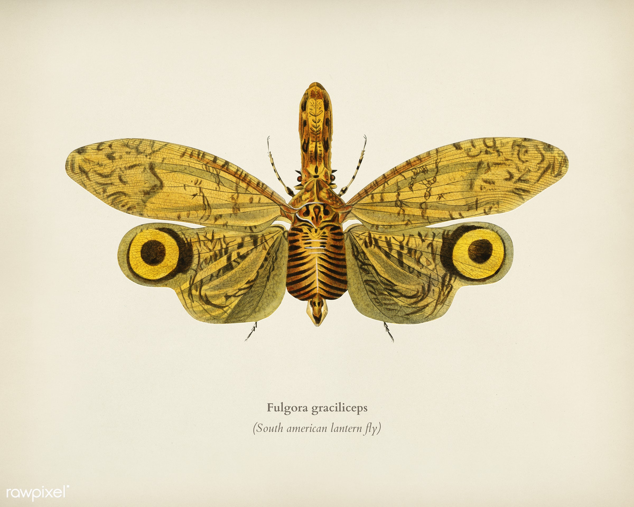 Fulgora graciliceps illustrated by Charles Dessalines D' Orbigny (1806-1876). Digitally enhanced from our own 1892...