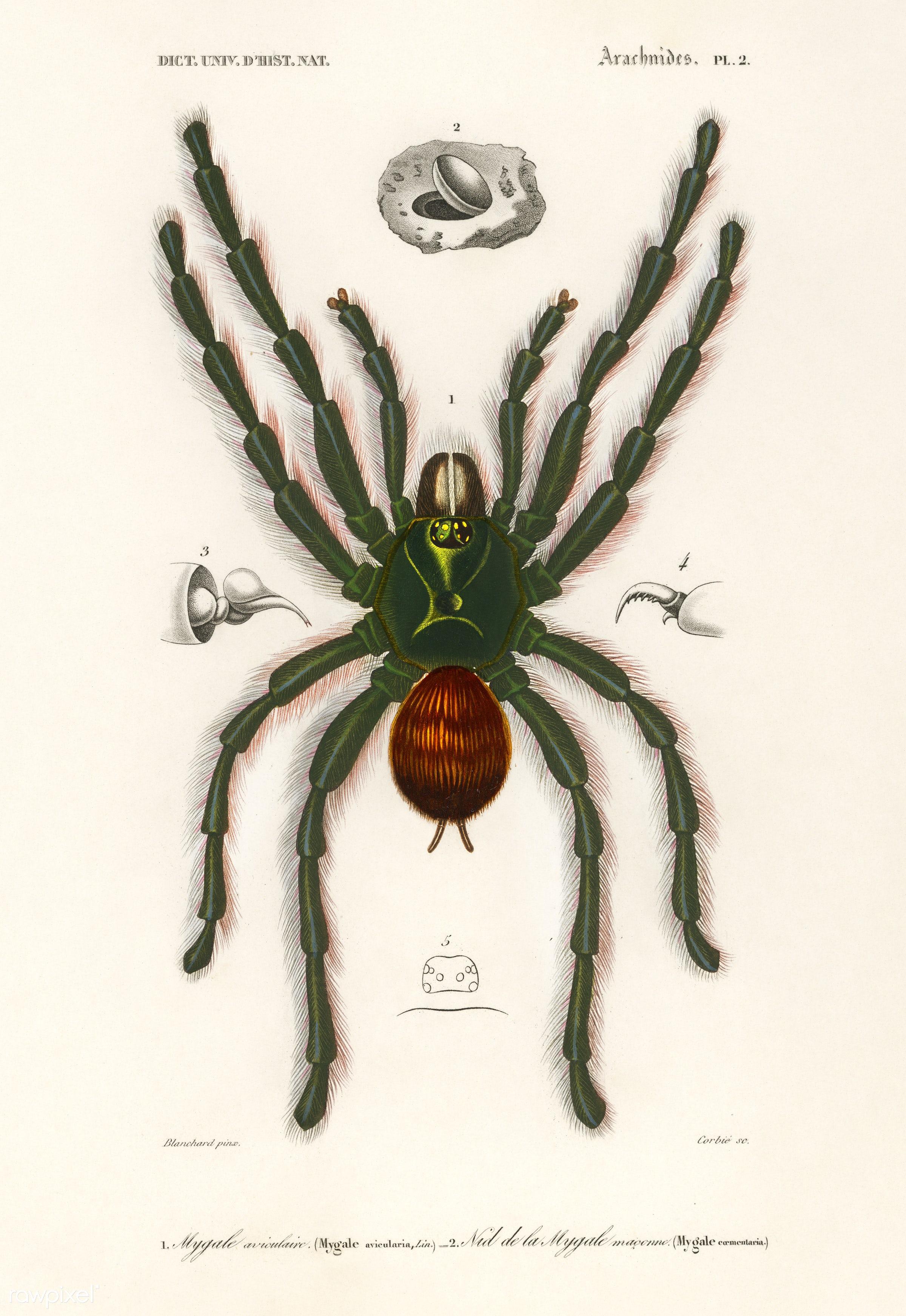 Pinktoe tarantula (Mygalomorphae) illustrated by Charles Dessalines D' Orbigny (1806-1876). Digitally enhanced from our...