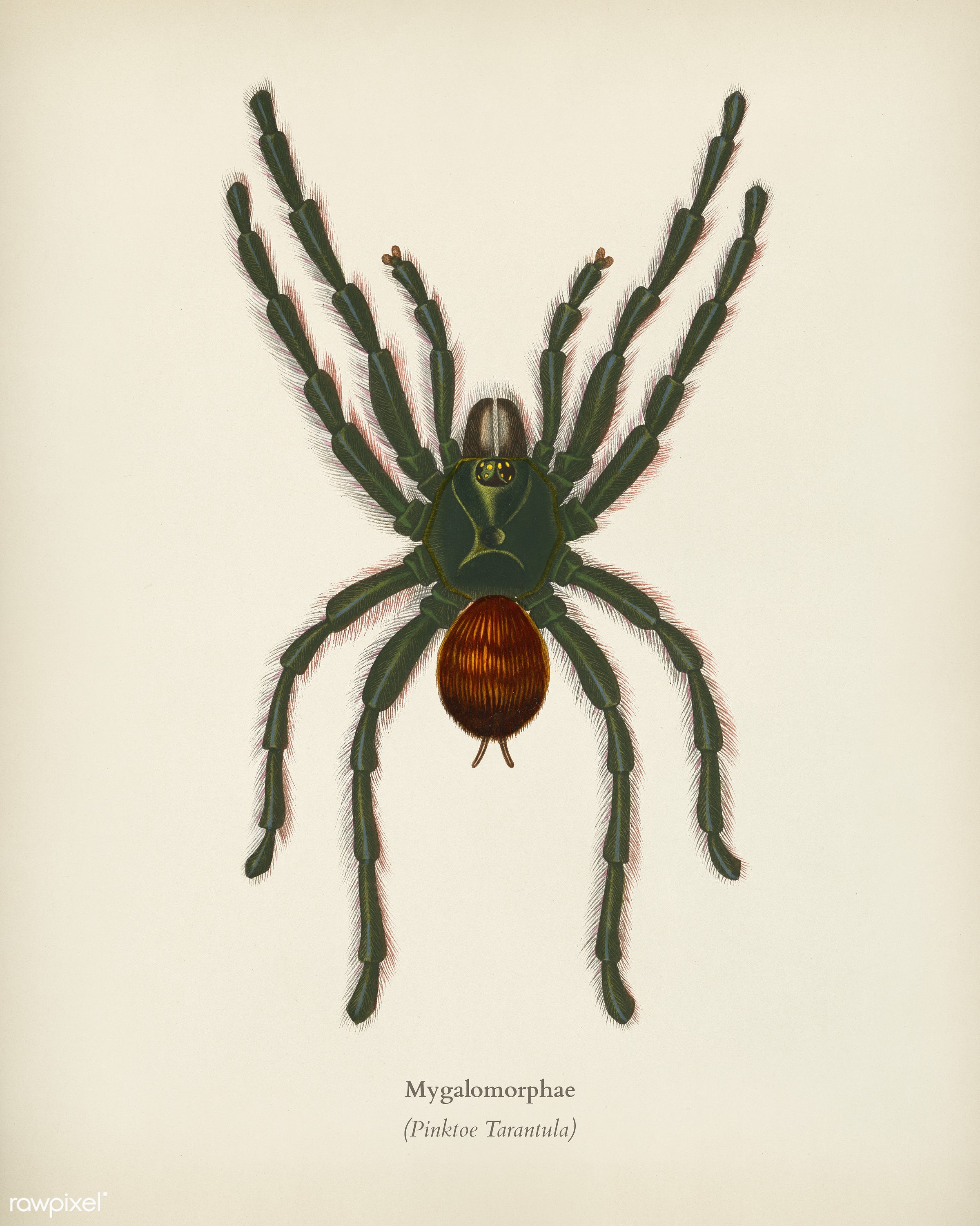 Pinktoe tarantula (Mygalomorphae) illustrated by Charles Dessalines D' Orbigny (1806-1876). Digitally enhanced from our...