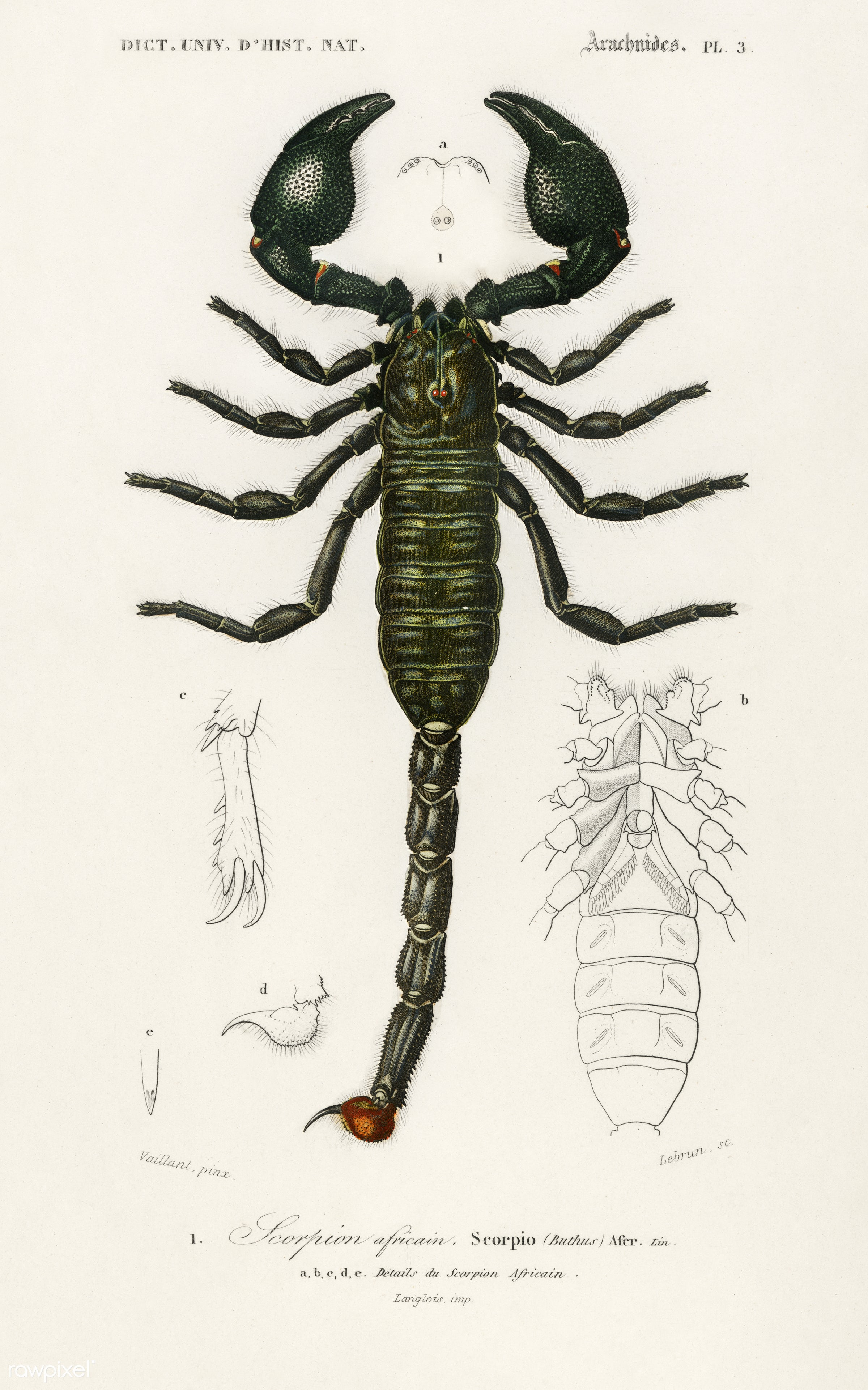 The Emperor Scorpion (Buthus Afer) illustrated by Charles Dessalines D' Orbigny (1806-1876). Digitally enhanced from our...