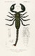 """The Emperor Scorpion (Buthus Afer) illustrated by <a href=""""https://www.rawpixel.com/search/Charles%20Dessalines%20D%27%20Orbigny?sort=curated&amp;page=1"""">Charles Dessalines D&#39; Orbigny</a> (1806-1876). Digitally enhanced from our own 1892 edition of Dictionnaire Universel D&#39;histoire Naturelle."""