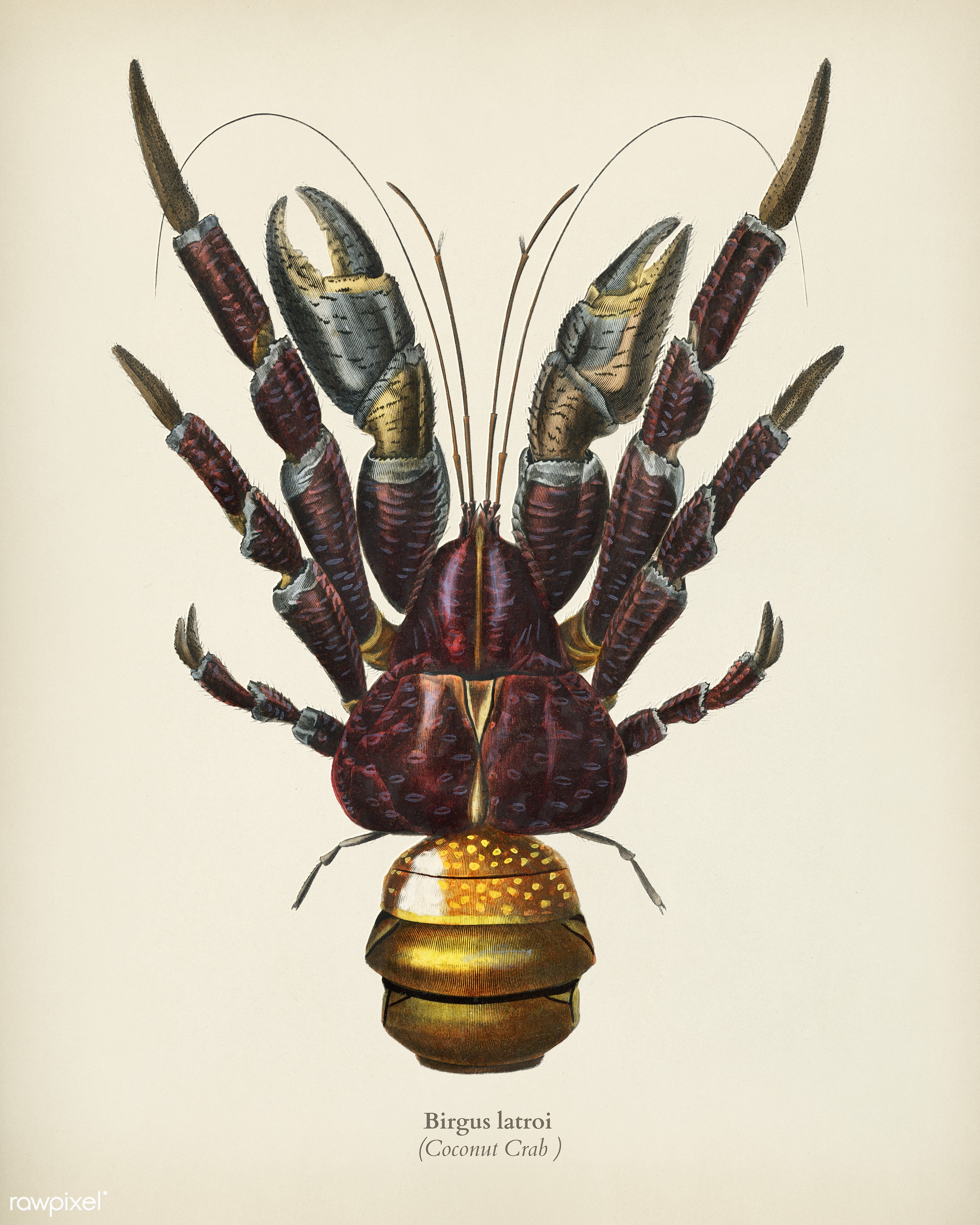 Coconut Crab (Birgus latroi) illustrated by Charles Dessalines D' Orbigny (1806-1876). Digitally enhanced from our own...