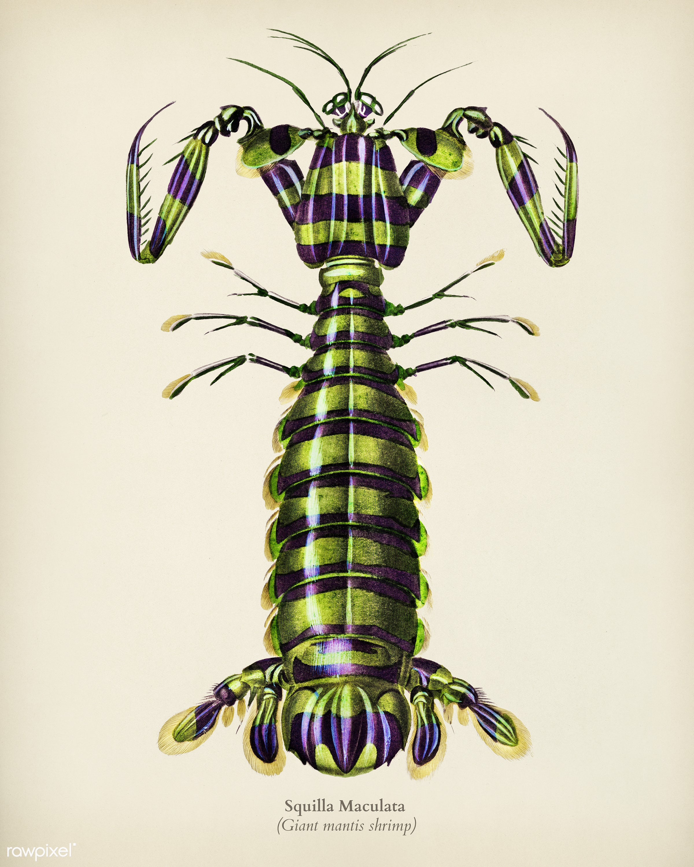 Giant mantis shrimp (Squilla Maculata) illustrated by Charles Dessalines D' Orbigny (1806-1876). Digitally enhanced from...