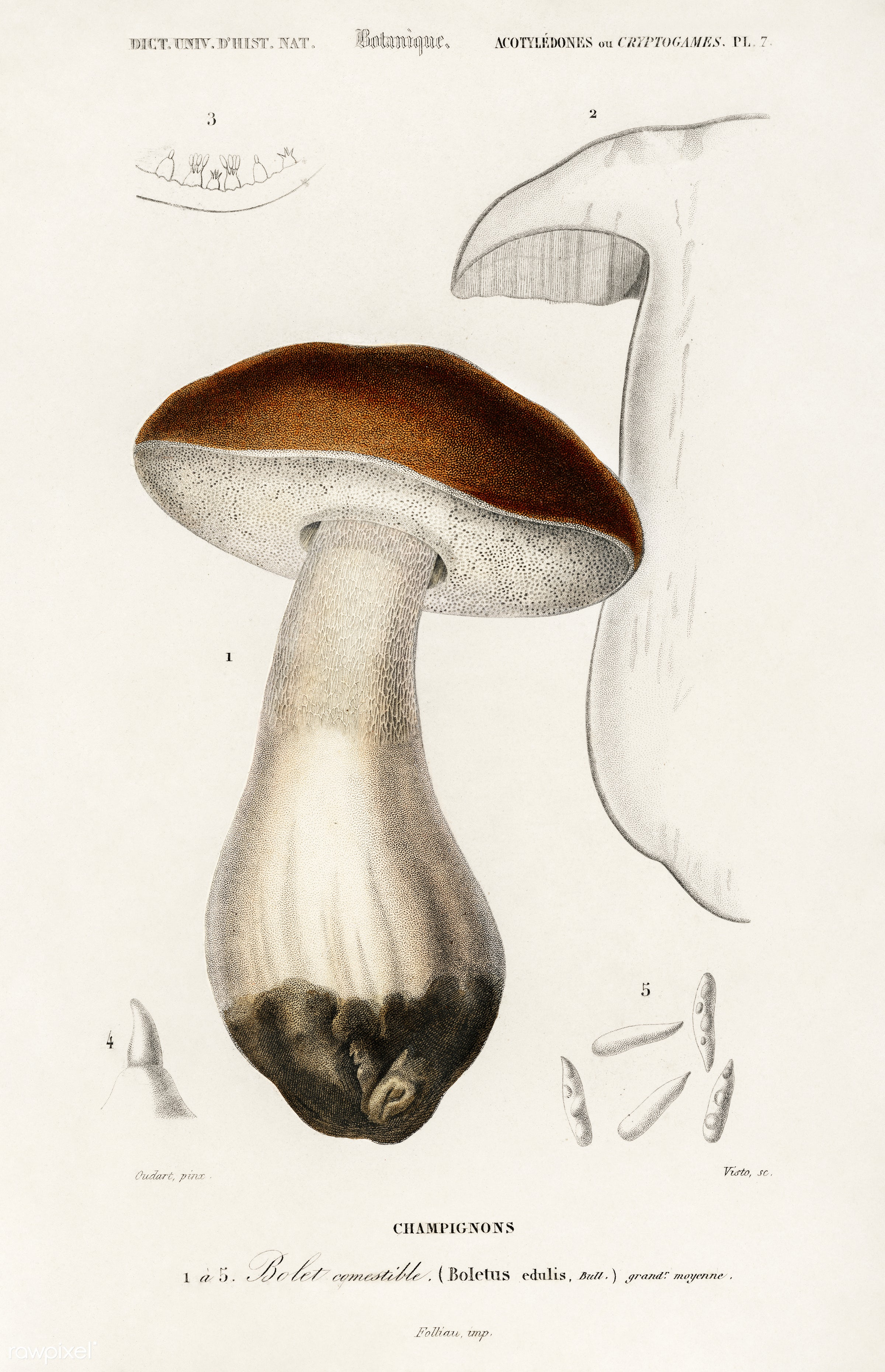 Penny bun (Boletus edulis) illustrated by Charles Dessalines D' Orbigny (1806-1876). Digitally enhanced from our own...